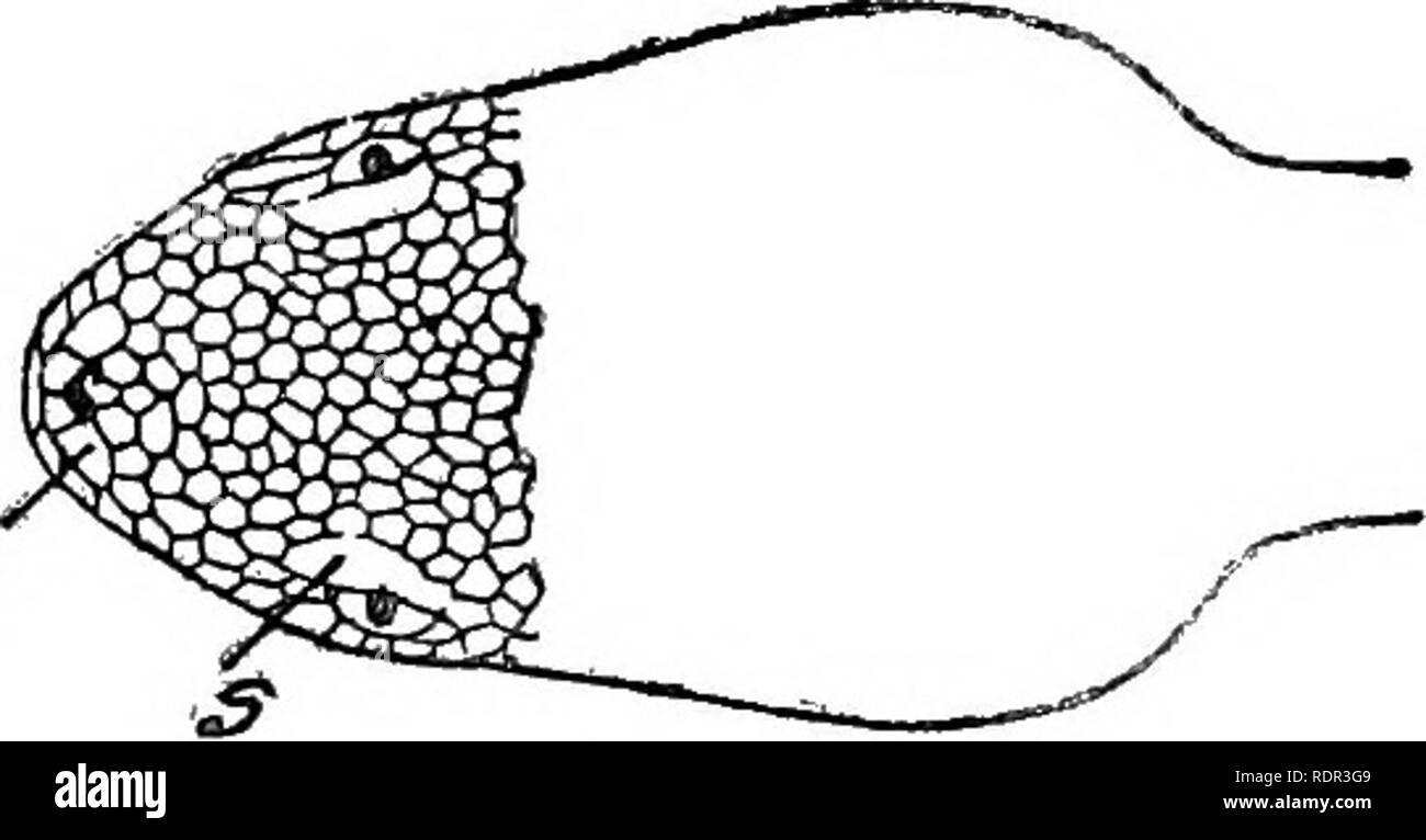 . The poisonous terrestrial snakes of our British Indian dominions, including Ceylon, and how to recognize them; with symptoms of snake poisoning and treatment. Snakes; Snakes. jTnd. Fig. 34.—Lachesis gramineus (nat. size) (Variety from Western Ghats.) labial, sometimes distinct; small scales may or may not be in- tercalated between it and the 2nd labial. Subocular maj ot ma,j not touch the 3rd labial. 2nd labial with a furrow in its upper part directed into the loreal pit. Scales—Anterior, 21 ; midbody, 21 ; posterior, 15. Bistribution.—Much the most plentiful and the most widely distributed  - Stock Image