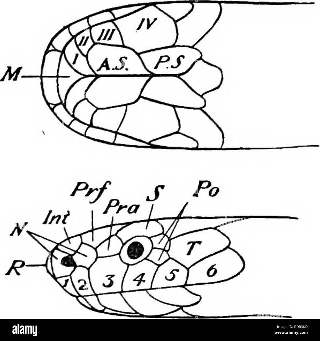 . The poisonous terrestrial snakes of our British Indian dominions, including Ceylon, and how to recognize them; with symptoms of snake poisoning and treatment. Snakes; Snakes. 36 THE POISONOUS SNAKES OF INDIA. Supplementary charac- ters.—Frcefrontals touch the internasal, posterior nasal, prseocular, supra- ocular, and frontal. Tem- poral 1, touching the 5th and 6 th supralabials. Supralahials 6. Anterior sublinguals touch 4 infra- labials. Posterior sublin- guals touch the 4th infra- labial. Infralabials.—The 4th is the largest of the series, and touches 2 scales behind. Scales in 13 rows in - Stock Image