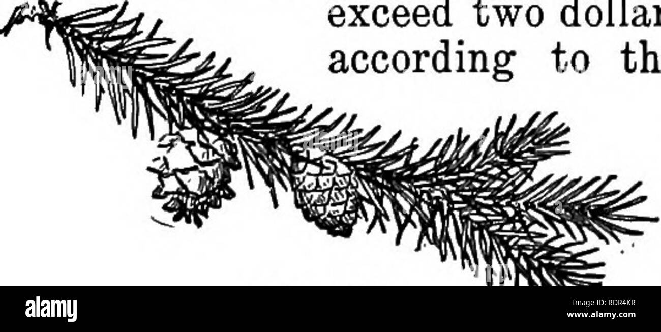 . Cyclopedia of farm crops, a popular survey of crops and crop-making methods in the United States and Canada;. Farm produce; Agriculture. Fig. 456. Norway spruce {Picea excelsa).. in this country was $8.88 and $8.68, respectively, not including the rent for land and the cost for superintendence. The chief demand for capital in continuous wood-cropping is the necessity of keeping a large supply of growing, immature trees on hand. Here- in is the most essential difference between forestry and agriculture : while farm crops mature in one year, and all that has grown during the year is harvested  - Stock Image