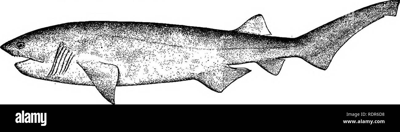 . The fishes of North Carolina . Fishes. 30 FISHES OF NORTH CAROLINA. Family HEXANCHID^. The Cow Sharks. A small family of viviparous sharks, some of them of large size, character- ized by 6 or 7 wide gill-slits and a single dorsal fin, together with a more or less elongate body, depressed head, large and subinferior mouth without labial fold, and teeth in upper j aw unlike those in lower. Two American genera, with 6 and 7 gill-openings respectively. Genus HEXANCHUS Rafinesque. Cow Sharks. In having 6 gill-openings, this genus differs from all other known sharks with the exception of a deep-wa - Stock Image