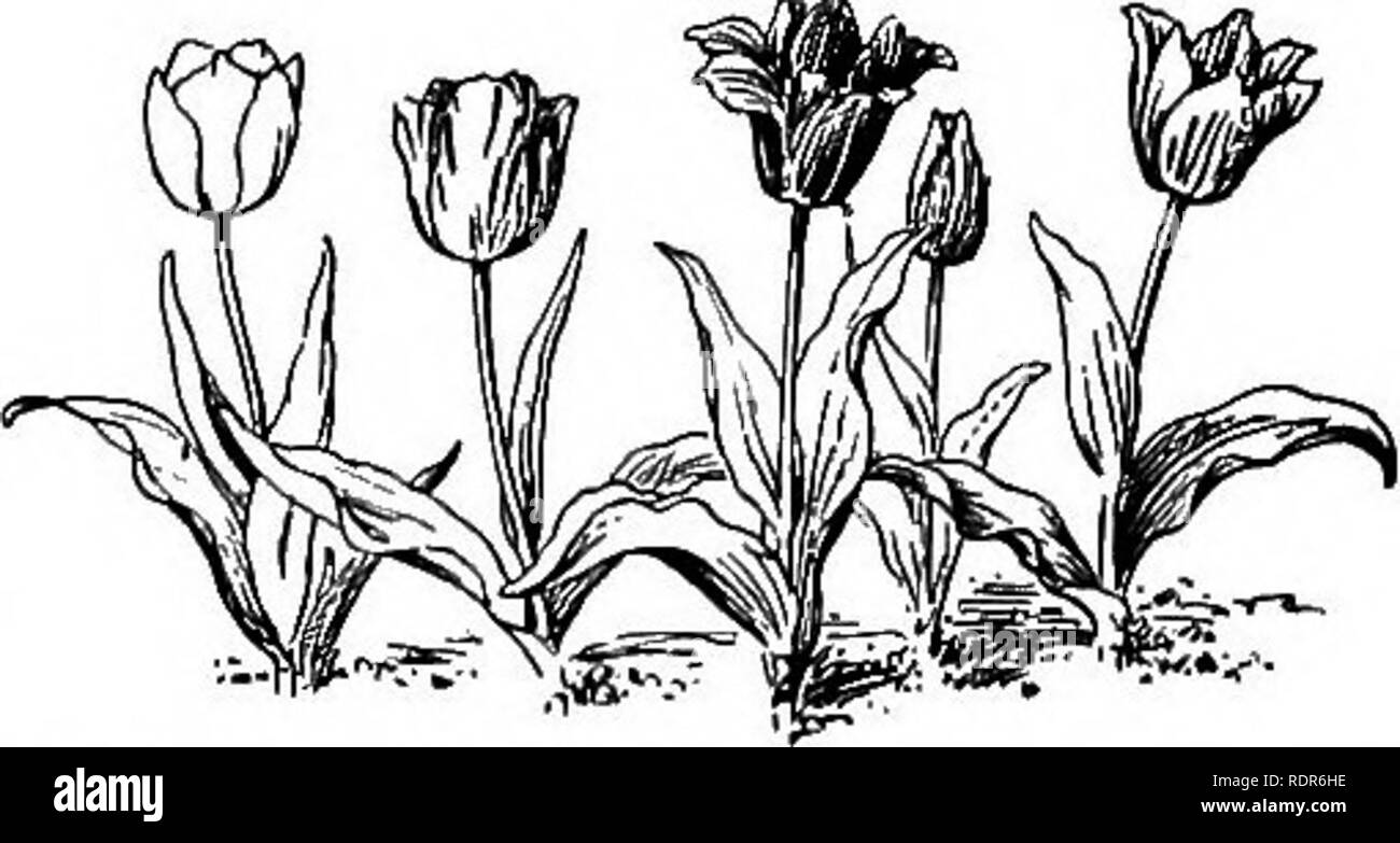 . Gardens and their meaning, by Dora Williams. School gardens. THE YOUNG FARMER'S ALMANAC 191 May 8, 190J. To-day we noticed the peas had come up and they had to have the earth scratched around them be- cause there were lumps of earth and they could not push through. They looked like this when we took off a lump of soil. The tulips have come up and they were planted near Mr. Bird's fence toward Cambridge Street. They are white, yellow, red, and striped. They look like this: May 23,1905. To-day we planted lettuce, radish and beets. We planted them next to the transplanted let- tuce which is in  - Stock Image