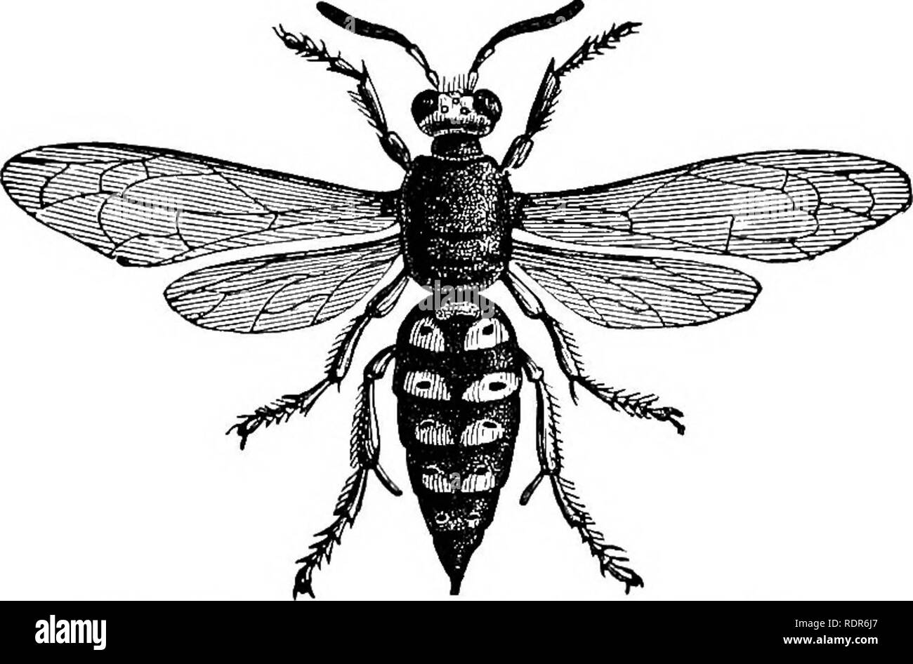 ". Injurious insects of the farm and garden. With a chapter on beneficial insects. Insects. OF THE FARM AND GARDEN. 197 same year, but ""the Locust years"" differ in different States. In the Report above referred to, there are given tlie dates of the appearance of twenty-two different broods. For example. Brood XX which appeared in 1866, may be looked for in 1883 in Western New York, ""Western Pennsylvania and in Eastern Ohio. The brood XXI, is due in 1884 and at intervals of seventeen years thereafter, in parts of North Carolina and in Central Virginia. In 1885 a brood will appear  - Stock Image"
