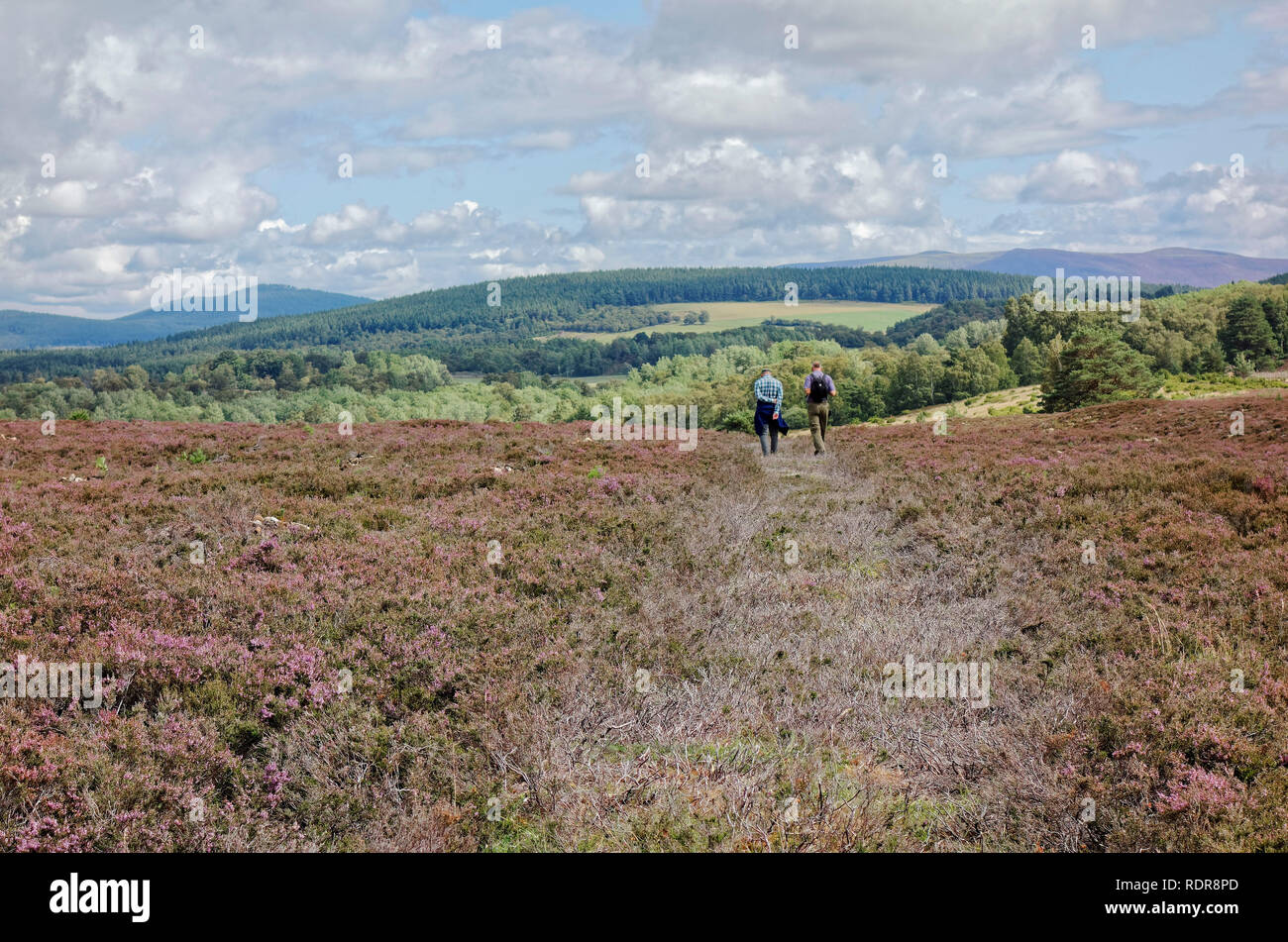 Two men walking across heather moor in Cairngorms National Park near Boat of Garten, Scotland, UK Stock Photo
