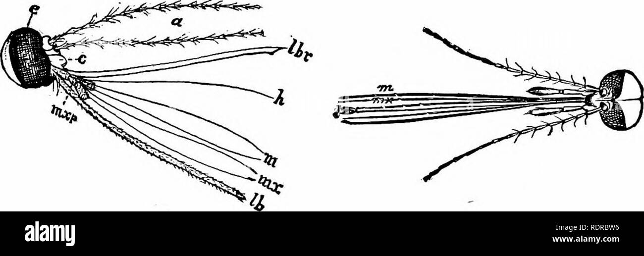 . Zoology. Zoology. Fig. 163.—^, larva; c, its respiratory tube, i?, pupa; d, respiratory tube. a,trno paddles at the end of the body. rolled up between the two large labial palpi^ and by their usually broad scaly wings. The larger moths are represented by the canker-worm, the grass army-worm and the cotton army-worm (Fig. 165),. Fig. 164.—Head and mouth parts of mosquito, e, eye; a, antemiae; i&r, labrum; A, hypopharynx; m, mandibles; mXy maxillaB; nixv, mamillary palpus; (6, la- bium. (Magnified.) SO destructive to yegetation; the silk-worm moth {Bomlyx mori) of the Old World, and the Am - Stock Image