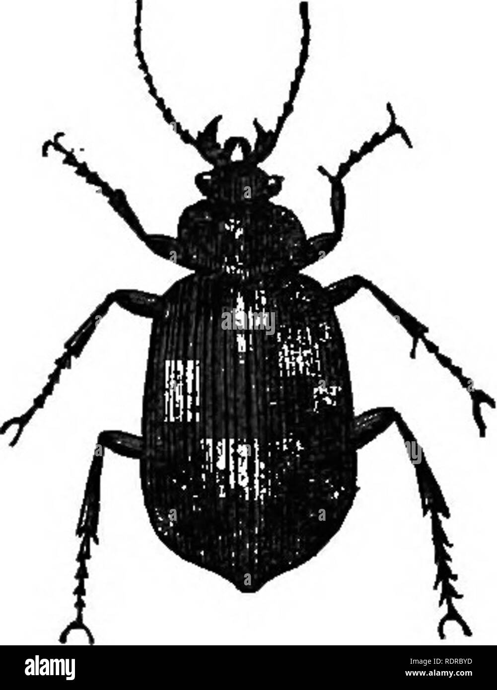 . Natural history. For the use of schools and families. Zoology. Figs. 193 and 194—CateipiUar-hunters. 426. The Scavenger Beetles, formiDg the second divi- sion, have very fine coverings, and their feet are fitted for digging. Though they are not only in the midst of filth, but live on it, they are remarkably clean, and are generally of a bright color, and some of them are very beautiful. These Beetles, and their grubs, ai-e of great service as scavengers. Although each one does but lit- tle, the multitude of them clear up a great deal of filth, which would otherwise offend our senses and inju - Stock Image
