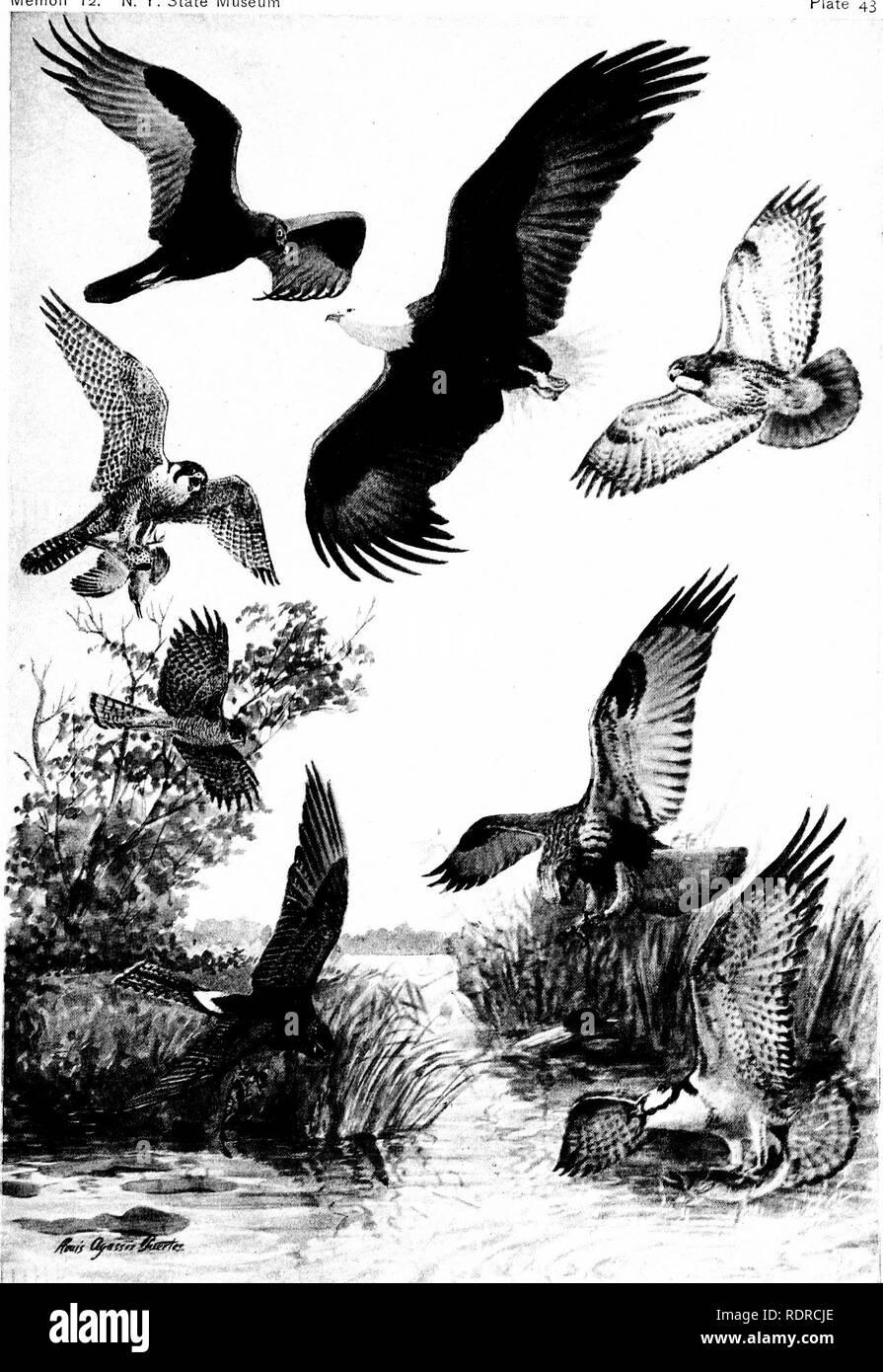 Birds Of New York Birds Memoir 12 N Y State Museu Plate 43 Appearance Of Diurnal Birds Of Prey In Flight Turkey Vulture Falcon Duck Hawk Bald Eagle Buteo Red Tailed Hawkj