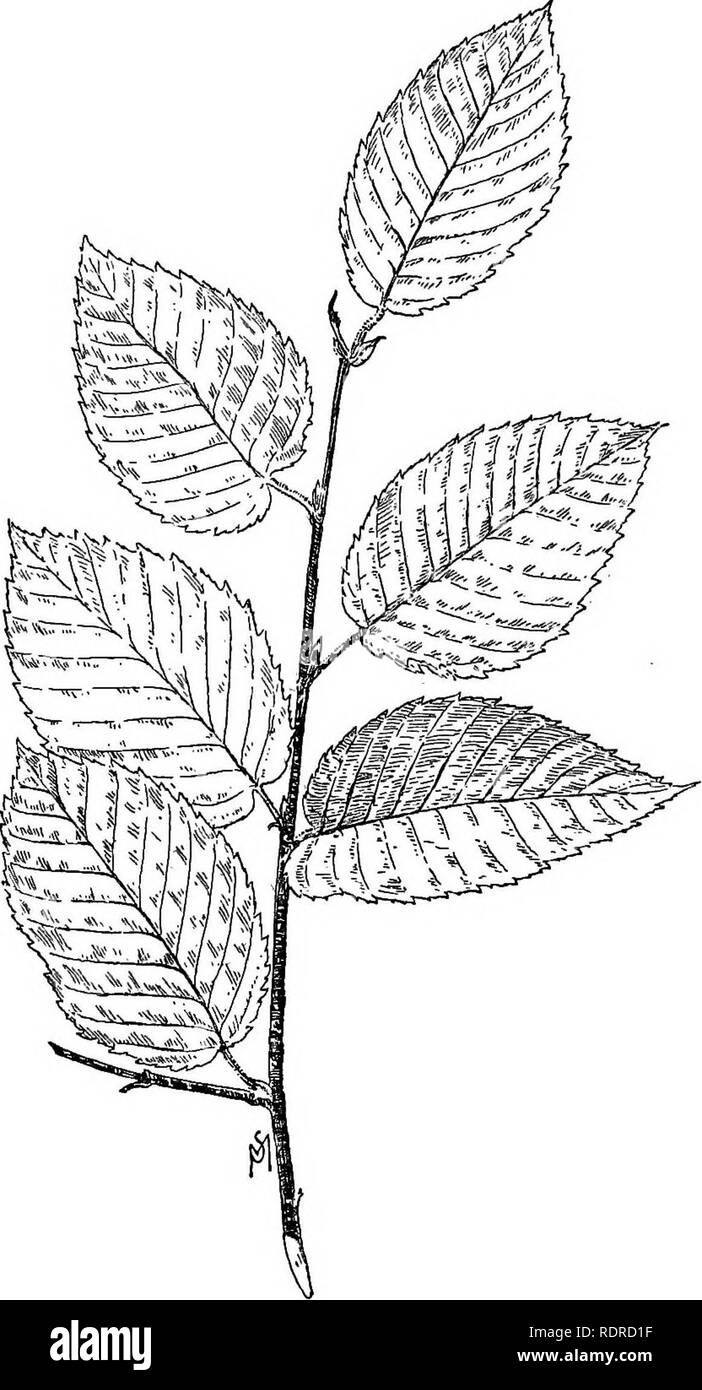 . Familiar trees and their leaves . Trees. THE BIRCHES. 85. Yellow Birch.. Please note that these images are extracted from scanned page images that may have been digitally enhanced for readability - coloration and appearance of these illustrations may not perfectly resemble the original work.. Mathews, F. Schuyler (Ferdinand Schuyler), 1854-1938. New York : D. Appleton - Stock Image