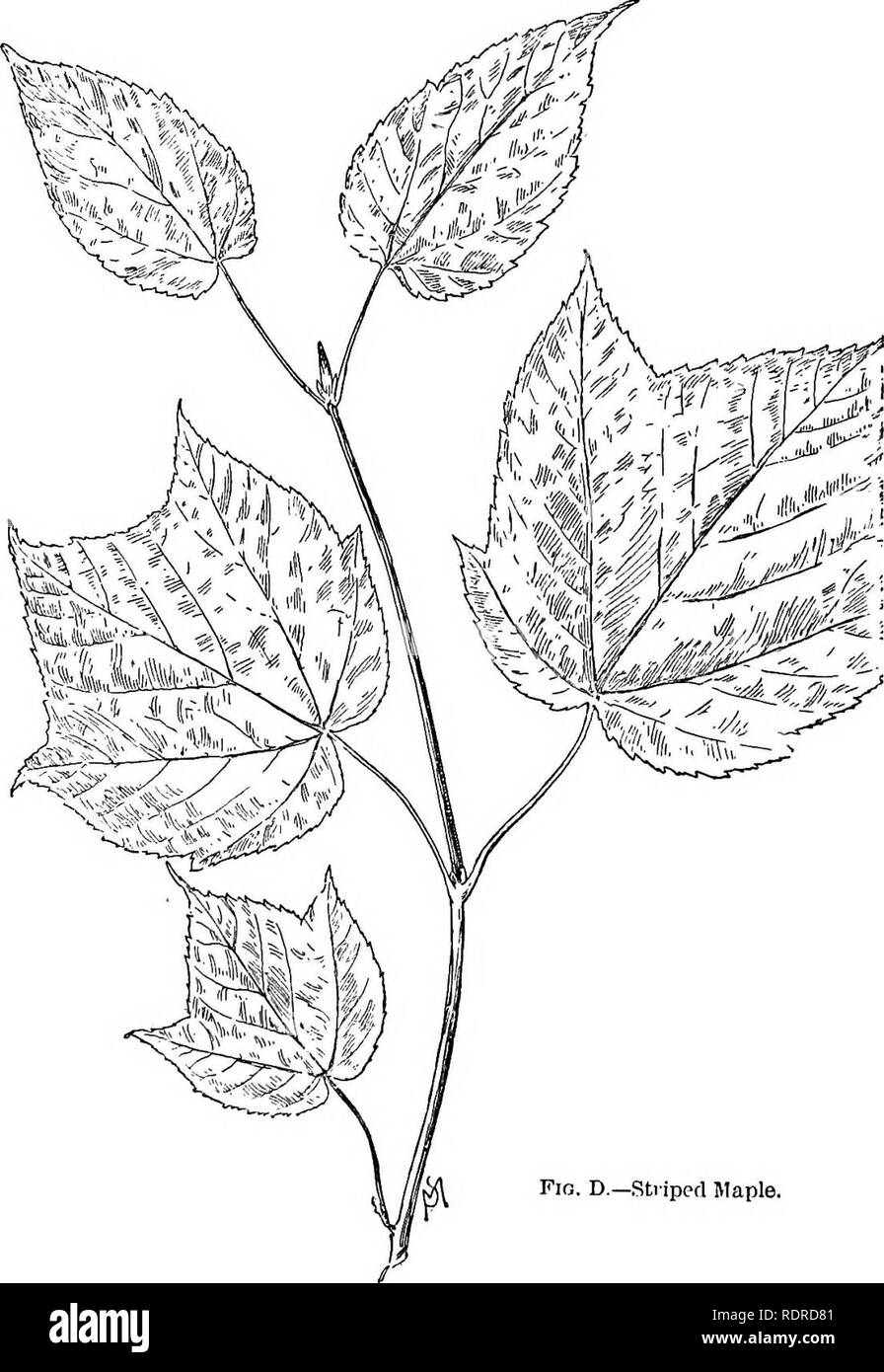 . Familiar trees and their leaves . Trees. FAMILIAR TREES AND THEIR LEAVES.. Please note that these images are extracted from scanned page images that may have been digitally enhanced for readability - coloration and appearance of these illustrations may not perfectly resemble the original work.. Mathews, F. Schuyler (Ferdinand Schuyler), 1854-1938. New York : D. Appleton - Stock Image