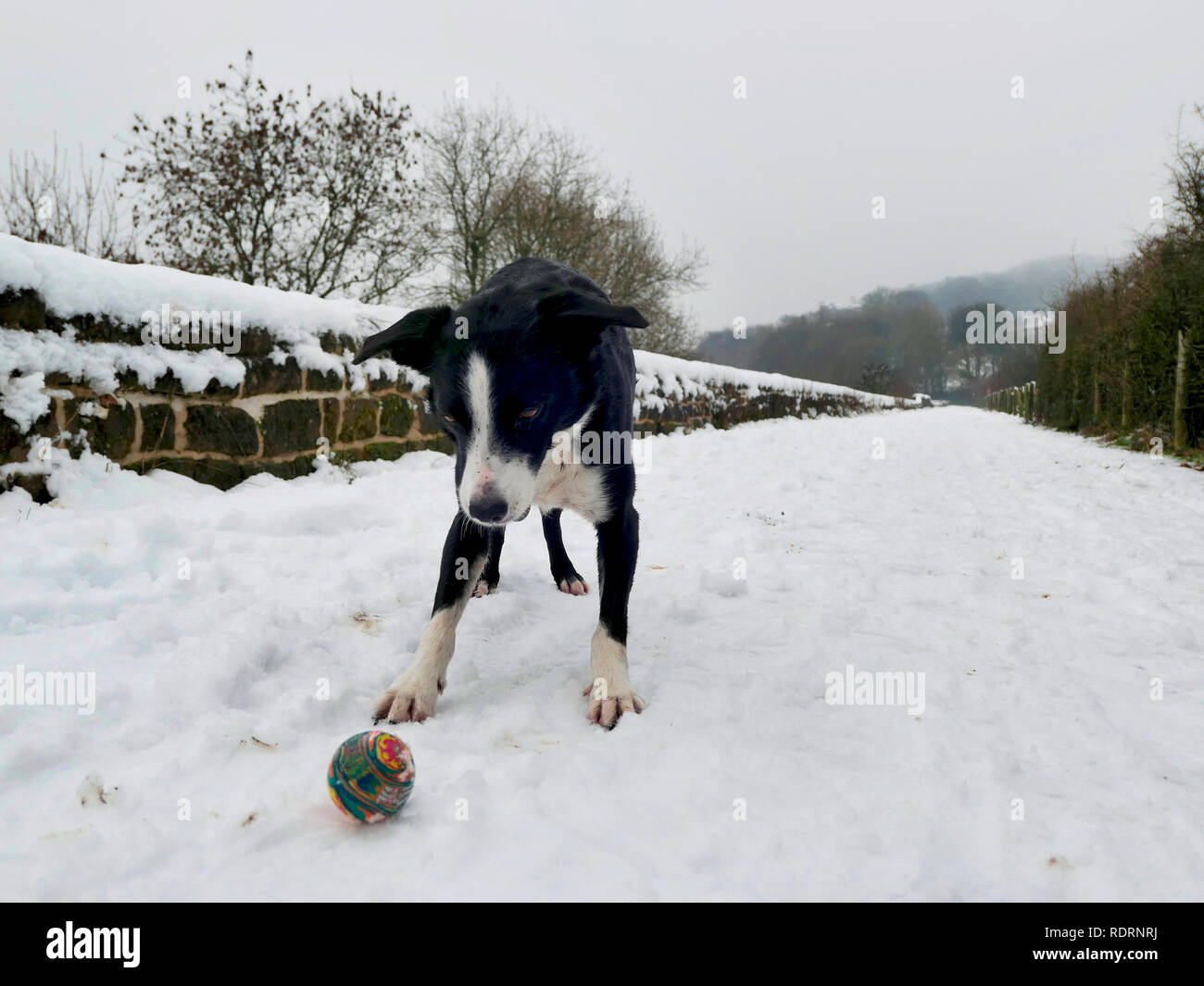 UK Weather: Boarder Collie dog playing ball in the snow on the High Peak Trail, Black Rocks, Bolehill, Derbyshire, Peak District National Park Credit: Doug Blane/Alamy Live News Stock Photo