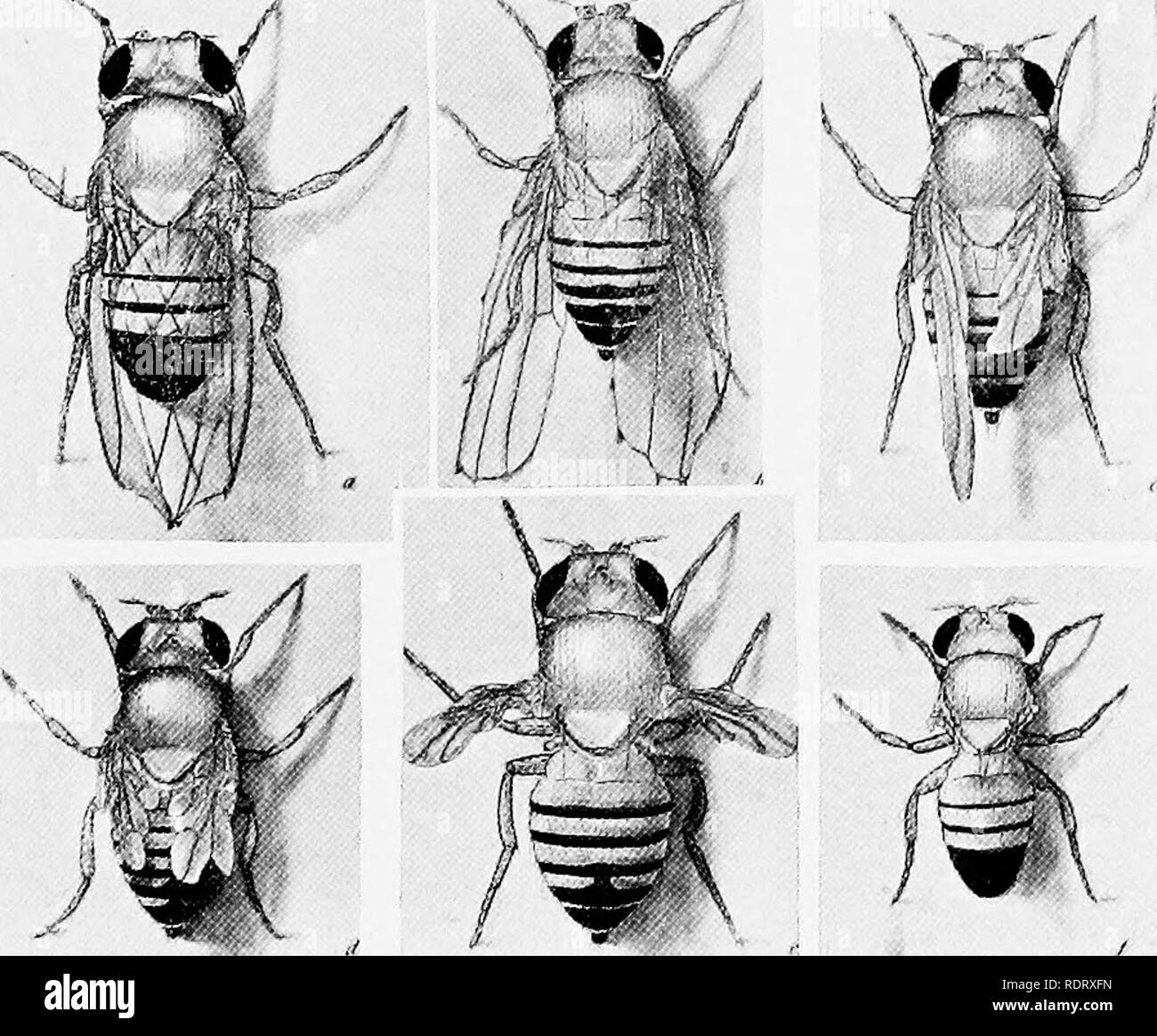. A critique of the theory of evolution. Evolution. THEORY OF EVOLUTION 11 taken place in the wings and several of these involve the size of the wings. If we arrange the latter arbitrarily in the order of their size there will be an almost complete series begin- ning with the normal wings and ending with those of apterons flies. Several of these types are represented in figure 5. The order in which these mutations occurred bears no relation to. Fig. 5. Mutants of Drosophila ampelophila arranged in order of size of wings: (a) cut; (b) beaded; (c) stump}'; (d) another individual of stumpy; (f) v - Stock Image