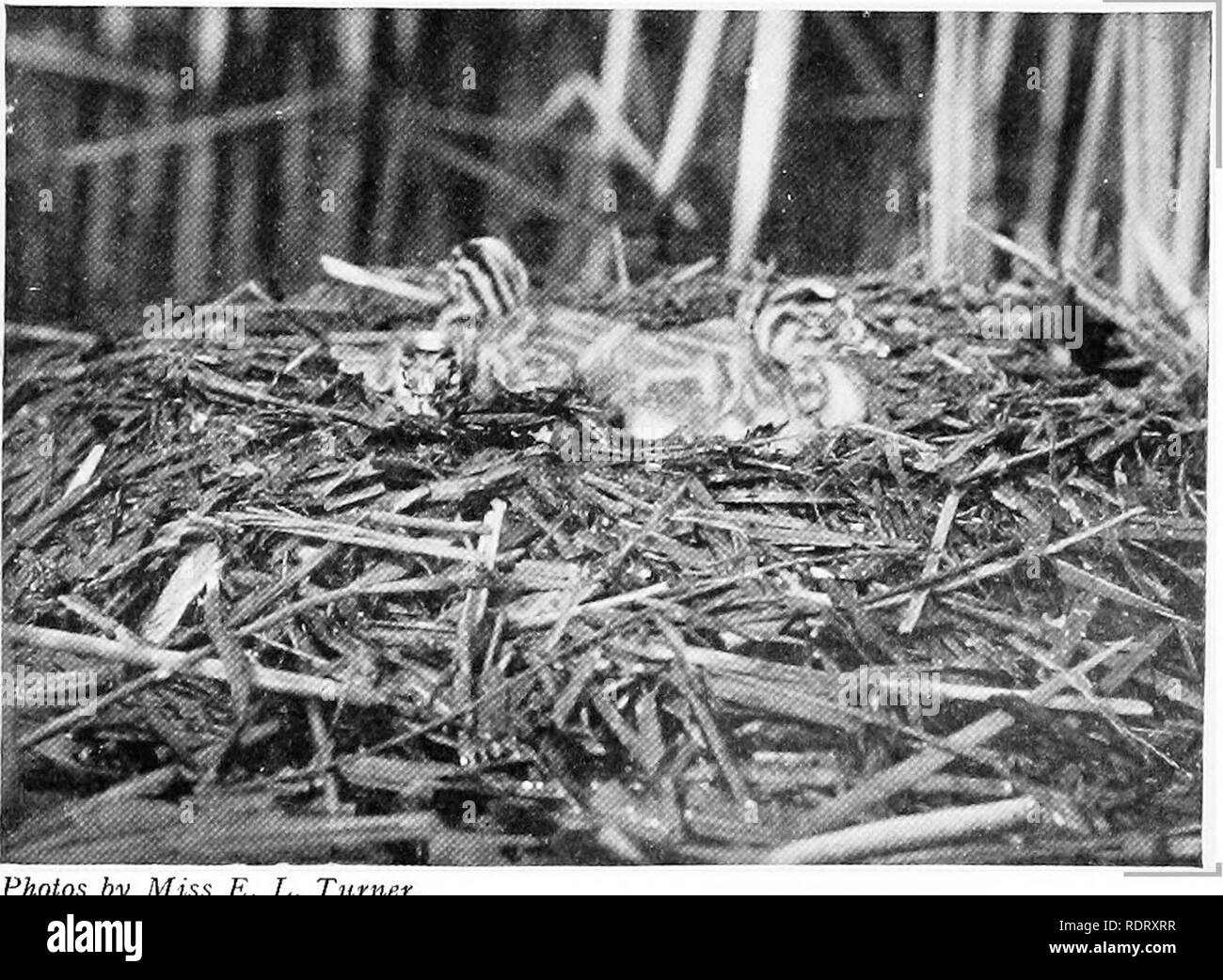 . The infancy of animals. Animals. NESTLING SHORT-EARED OWLS.. M r^ - E. L. Turner. NESTLING GREAT CRESTED GREBES. The nestling owls have transversely baiTed. down, in the grebes it is longitudinally striped. The barred type of down is met with only among the owls. 114]. Please note that these images are extracted from scanned page images that may have been digitally enhanced for readability - coloration and appearance of these illustrations may not perfectly resemble the original work.. Pycraft, W. P. , (William Plane), b. 1868. New York, H. Holt and Company - Stock Image