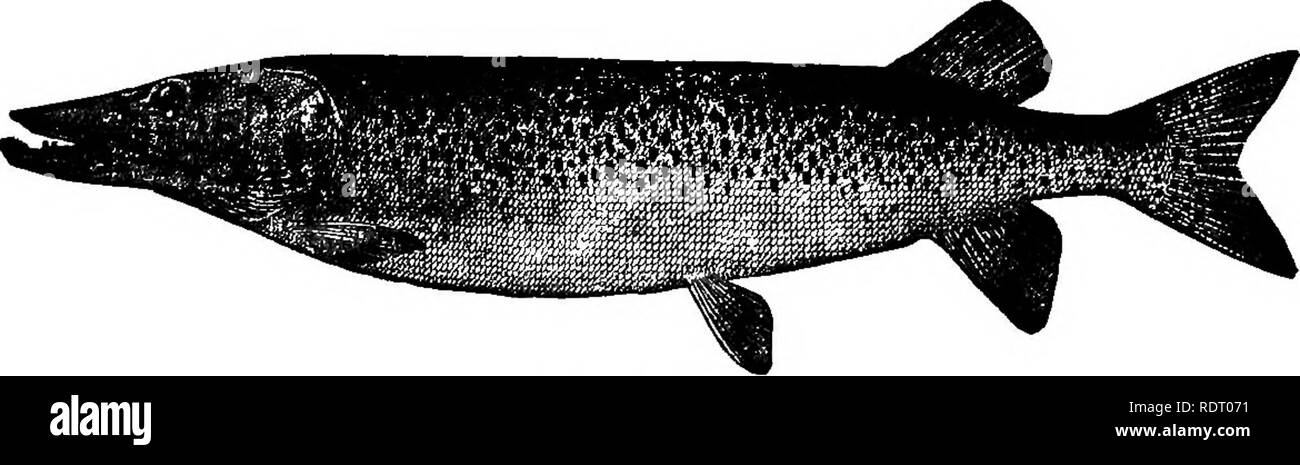 . American fishes; a popular treatise upon the game and food fishes of North America, with especial reference to habits and methods of capture. Fishes. THE MUSKELLUNGE. PIKE, MUSKELLUNGE AND PICKEREL. I will give thee for thy food No fish that useth in the mud. But trout and pike, that love to swim Where the gravel from the brim, Through the pure streams may be seen. Beaumont and Fletchhr, The Faithful Shepherdess^ 1611. The goodly well-grown trout, I with my angle strike. And with my bearded wire, I take the ravenous pike Drayton, The Muses Elysium, Nymphal IV. /^NE of the most ancient among  - Stock Image