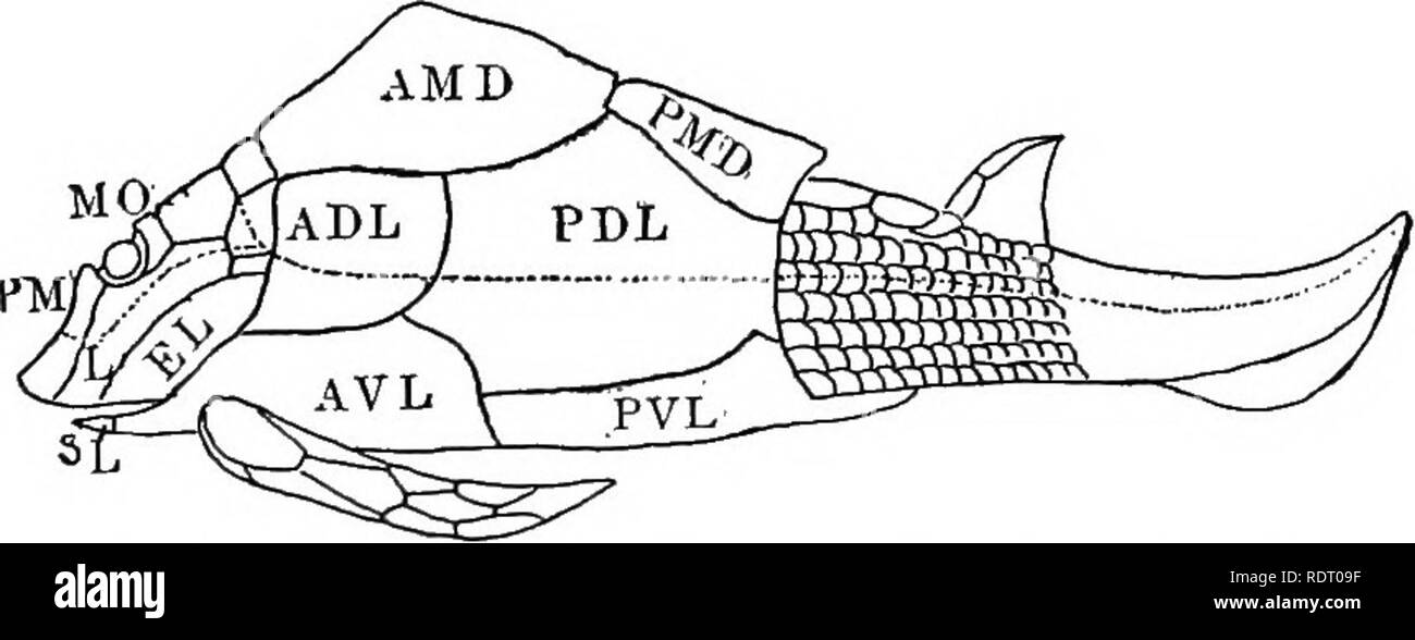 . Text book of vertebrate zoology. Vertebrates; Anatomy, Comparative. Fig. 230. Cephalaspis, from Dean, aftei- Agassiz.. Fig. 231. Restoration of Pterichthys testtidinarius, after Traquair. ADL, anterior dorso-lateral; AMD, anterior median dorsal; A VL, anterior ventro- lateral; EL, extra lateral (opercular); L, labial; MO, median occipital; PDL, posterior dorso-lateral; PM, premedian; PAID, posterior median dorsal; PVL, posterior ventro-lateral; SL, semilunar. Lateral line system dotted. Series II. Gnathostomata. Vertebrates with jaws ; paired appendages normally present; olfactory organs pai - Stock Image
