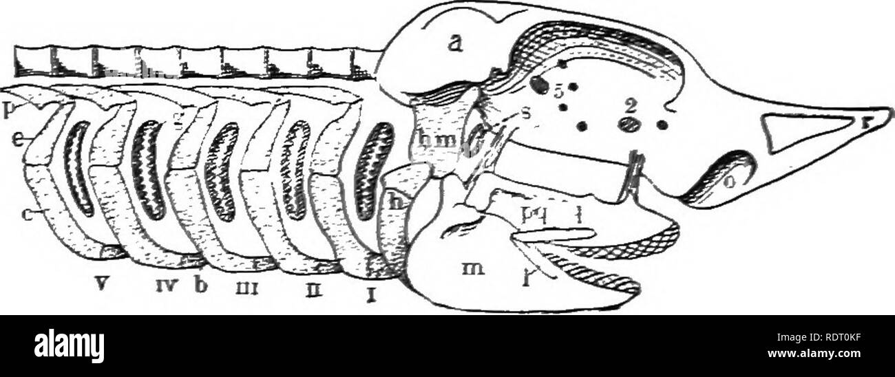 . Text book of vertebrate zoology. Vertebrates; Anatomy, Comparative. 154 MORPHOLOGY OF THE ORGAXS OP VERTEBRATES. The visceral skeleton consists of a series of paired bars, always preformed in cartilage, in the walls of the pharynx and the oral cavity. Formerly these arches, which partially or com-. FiG. 162. EKagram of skull and visceral arches of an Elasmobranch. a, audi- tory capsule; b, basibranchial; c, keratobrancbial; d, epibranchial; g, gill cleft; h, hyoid; hm, hyomandibular; /, labial cartilages; m, mandible (Meckel's cartilage); o, olfactory capsule; /, pharyngobranchial;/^, pteryg - Stock Image