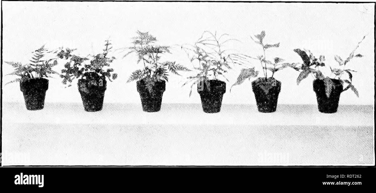 . Window gardening. Floriculture. WINDOW GARDExXING to the size of the dish in which they are to be planted. Only the hardier species, which are able to withstand the dry atmosphere, should be selected for this purpose. In Fig. 35 are shown six varieties of ferns for the fernery. They are, from left to right, Aspidium tsussumense, Adiantum capillus-. Fig- 35- Ferns suitable for the fernery veneris, Pteris tremula, Pteris serrulata, Cyr- tomium falcatum and Pteris cretica albo-line- ata. In addition to these the following are also good:—Cyrtomium fortunei, Onycium japon- icum, Nephrolepsis duff - Stock Image