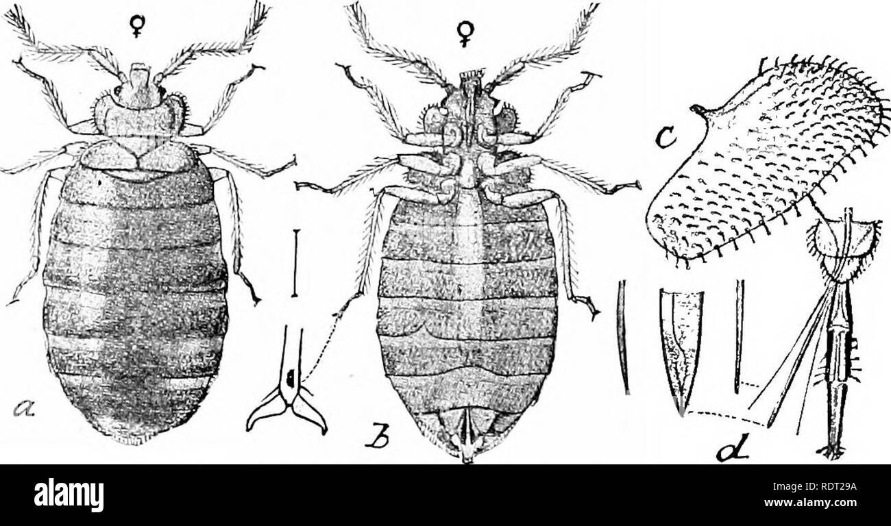 . Principles of economic zoo?logy. Zoology, Economic. HEMIPTERA 141 of plants. The sucking beak consists of the lahiuin, which, to- gether with the labial palpi, is modified into a jointed sheath. This incloses the mandibles and maxillae, which are changed into long, piercing stylets.^ The labrum or upper lip is small or rudimentary. There are usually four wings. In the typical Hemiptera, as exemplified in the sub-order Heterop'tera, the character of the anterior wings is a distinguishing feature. The basal portions of these wings are thickened and parch- ment-like, while the terminal portions - Stock Image