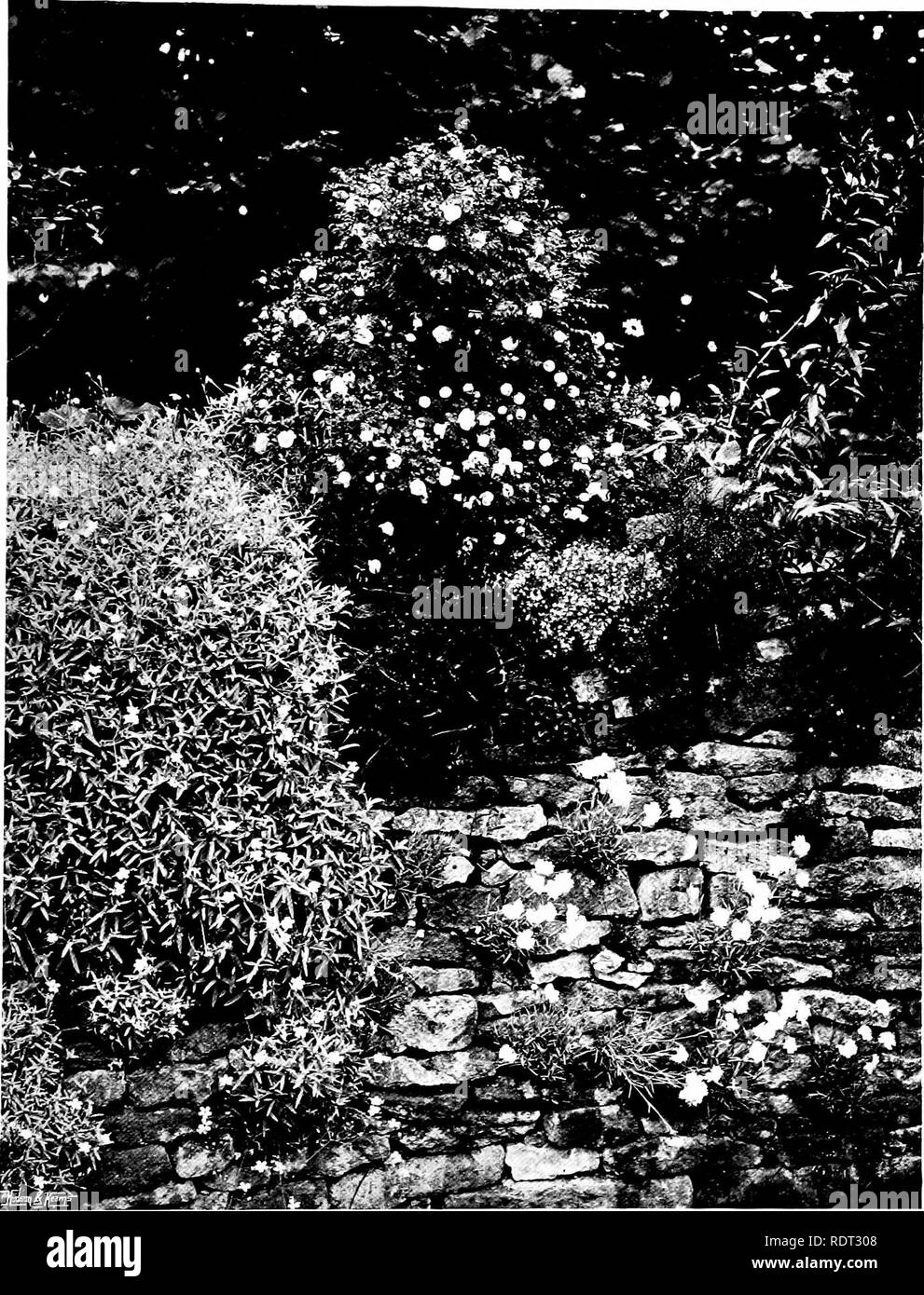 . Gardens for small country houses . Gardens, English. Retaining JValls and Their Planting. 125. FIG. 160. PALE PINK ROSE, VALERIAN, CERASTIUM AND ROCK PINK IN A ROUGH STONE WALL.. Please note that these images are extracted from scanned page images that may have been digitally enhanced for readability - coloration and appearance of these illustrations may not perfectly resemble the original work.. Jekyll, Gertrude, 1843-1932; Weaver, Lawrence, Sir, 1876-. London : Published at the offices of Country Life . .. and by George Newnes . .. ; New York : Charles Scribner's Sons - Stock Image