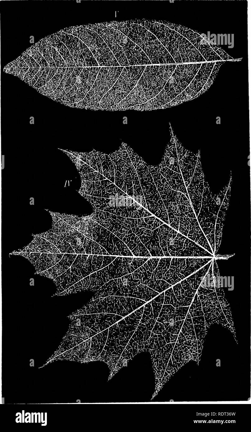 . Phantom flowers, a treatise on the art of producing skeleton leaves. Flower arrangement; Leaves. . Please note that these images are extracted from scanned page images that may have been digitally enhanced for readability - coloration and appearance of these illustrations may not perfectly resemble the original work.. Boston, J. E. Tilton - Stock Image