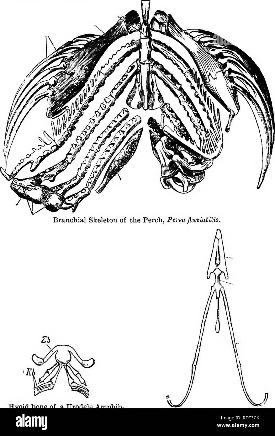 . An introduction to the study of zoology. Zoology. Fig. 87.—Tbe Branchial Skeleton of « fish, an I its representative in an Amphibian and in a Bird.. Hyoid bone of a Urodele Amphib- ian, jlfewopoma: Zb, hyoidparb; Kb, remains of the branchial arches. (From Clans and Sedgwick.) Hyoid bone of the Hooded Crow, Corojus Comix. (From Glaus and Sedgwick.). Please note that these images are extracted from scanned page images that may have been digitally enhanced for readability - coloration and appearance of these illustrations may not perfectly resemble the original work.. Lindsay, B. London, S. Son - Stock Image