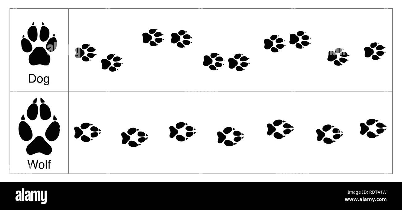 Wolf and dog tracks by comparison. Round and smaller tracks of dogs and oval bigger ones of wolves - illustration on white background. - Stock Image