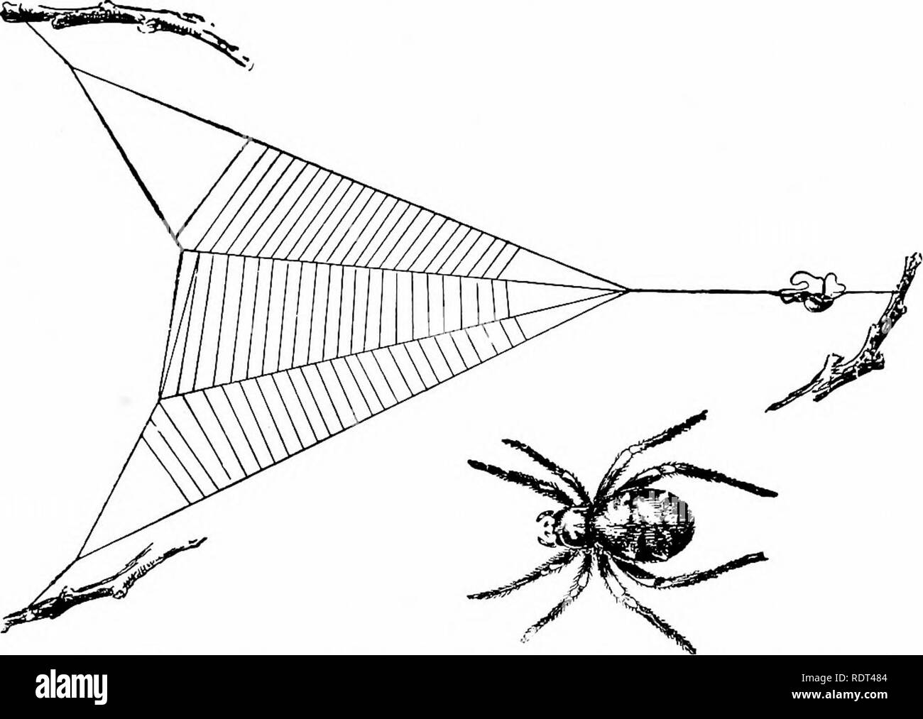 . First lessons in zoology. Zoology. SPIDERS AND THEIR fVEB-MAKING 205 posed of a spiral line but of a closed oval or circular shield. The very small triangle spider spins a triangular web (fig. 166), from which a main stay-line runs, upon which the creature rests with a loop of the stay-line held between the fore and hind legs. When an insect alights upon the snare the spider looses the hold of the hind legs on the stay-line and the web springs suddenly, further en-. FlG. 166.—The triangle spider, Hyptiotes sp. (California), with its web; the spider rests on tlie taut guy-line, with a loop of - Stock Image