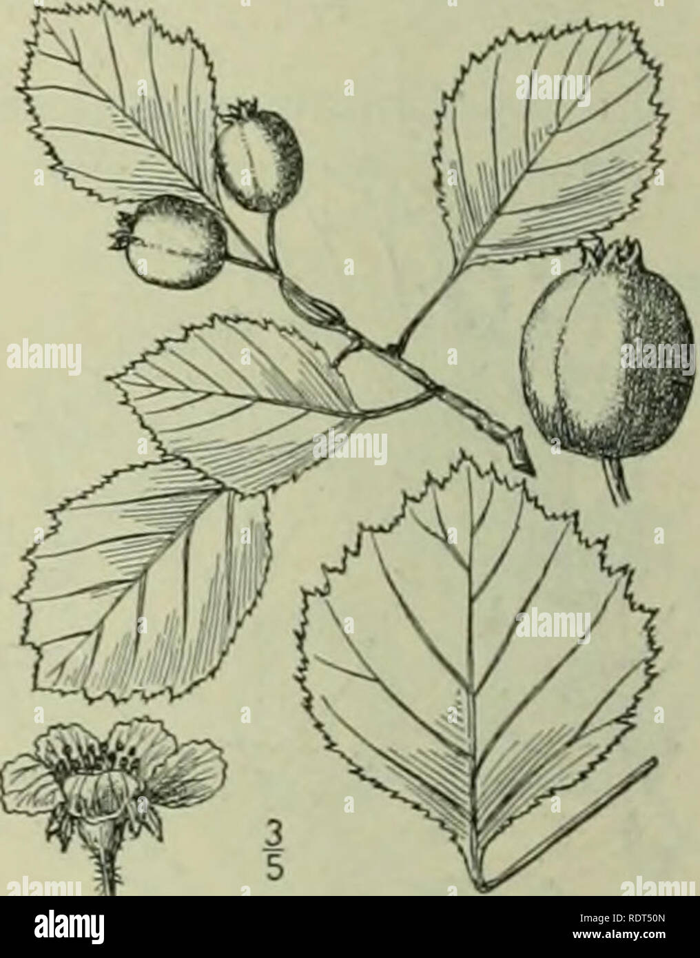 . An illustrated flora of the northern United States, Canada and the British possessions : from Newfoundland to the parallel of the southern boundary of Virginia and from the Atlantic Ocean westward to the 102nd meridian. Botany. Mespilus rotundifolia Ehrh. Beitr. 3: 30. 17S8. Crataegus rotundifolia Borckh. in Roem. Arch, i': 87. 1798. Not Lam. Ency. 1: 84. 1783. Crataegus chrysocarpa Ashe, Bull. N. Car. Agri. Coll. 175: no. 1900. C. sheridana A. Nelson, Hot. Gaz. 34: 370. 1902. C. Doddsii Ramaley, Hot. Gaz. 46: 5 : 381. 1908. . beautiful round-topped shrub, or a tree occa- sionally 25° high, Stock Photo