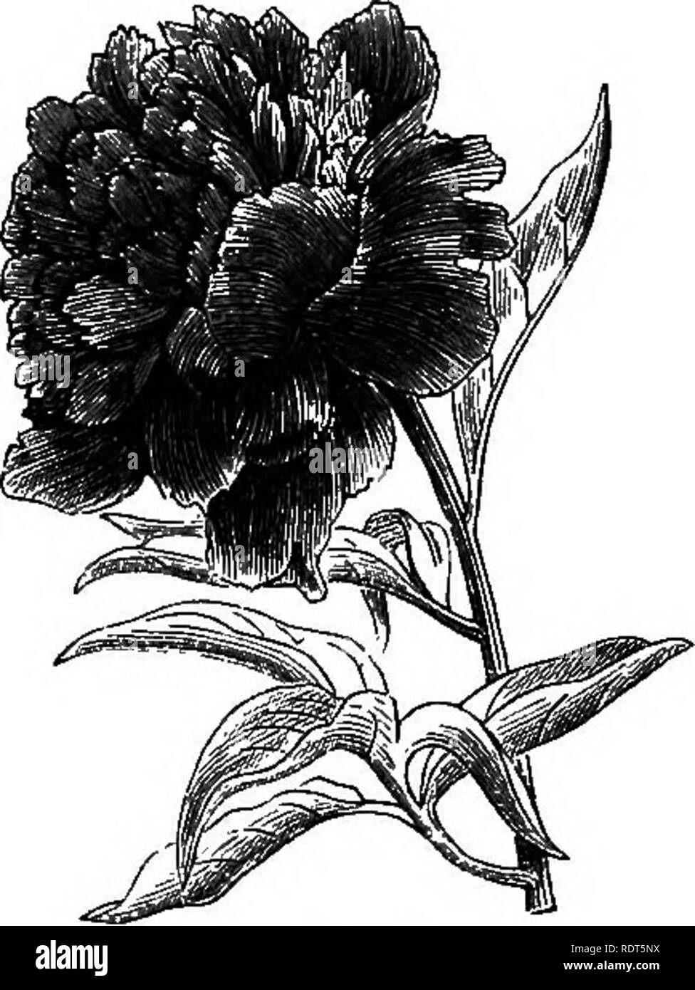 . My garden, its plan and culture together with a general description of its geology, botany, and natural history. Gardening. 234 MY GARDEN. A very showy flower, the Peony (fig. 460), blossoms at the end of May. There are many varieties ; they are more remarkable for their size than for their beauty. I have had various plants, but never have been satisfied with any of them. There are many fine kinds which will hardly flower in our climate. The Chinese and Japanese are reputed to possess endless varieties of these flowers. The Gunnera scabra is a remarkable plant, with ornamental leaves somewha Stock Photo