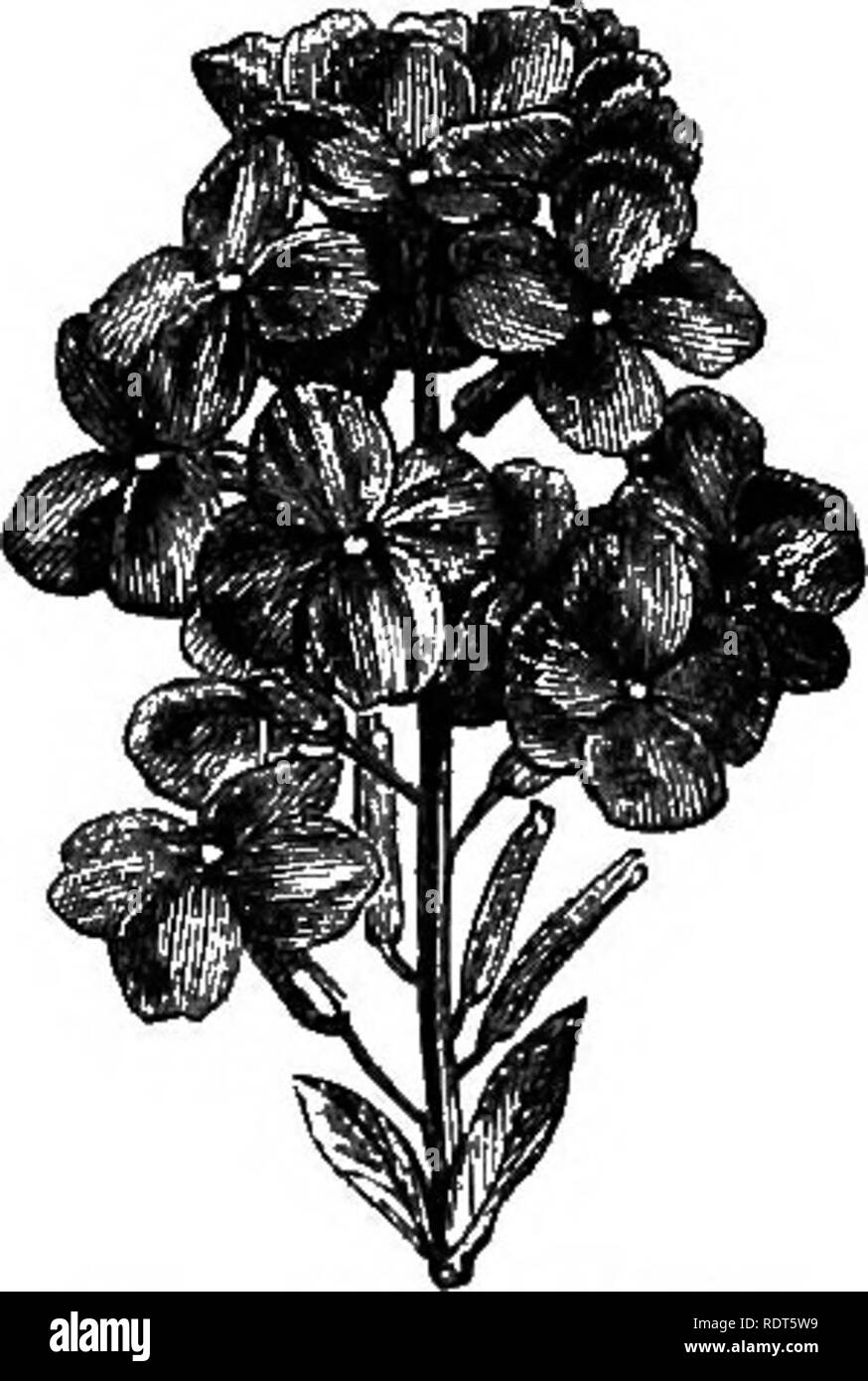. My garden, its plan and culture together with a general description of its geology, botany, and natural history. Gardening. Fig. 43S.—Christmas Rose. Fig. 436.—Wallflower. Fig. 434.—Lupin. One of the most valuable winter-blooming flowers is the Christmas Rose {Helleborus niger, fig. 435), affording large white flowers when other.blossoms do not exist. I have had much trouble in growing this plant, although it attains to the highest perfection a few hundred yards from my garden, and about twenty or thirty feet higher up the hill. My plants now, however, look well, as I secured strong vigorous Stock Photo