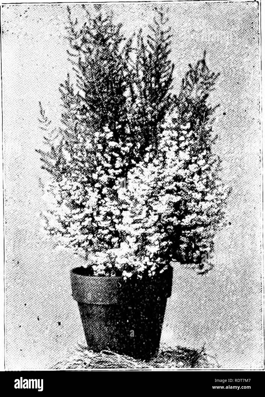 . Ornamental shrubs for garden, lawn, and park planting, with an account of the origin, capabilities, and adaptations of the numerous species and varieties, native and foreign, and especially of the new and rare sorts, suited to cultivation in the United States. Shrubs. 68 Ornamental Shrubs.. with lime proves fatal to success. But with all these draw- backs it is surprising that the heaths are not more generally planted in this country than they are. Equal and even more at- tention is bestowed on many sorts in no wise superior, and with less satisfactory results. Their flowering season covers  - Stock Image