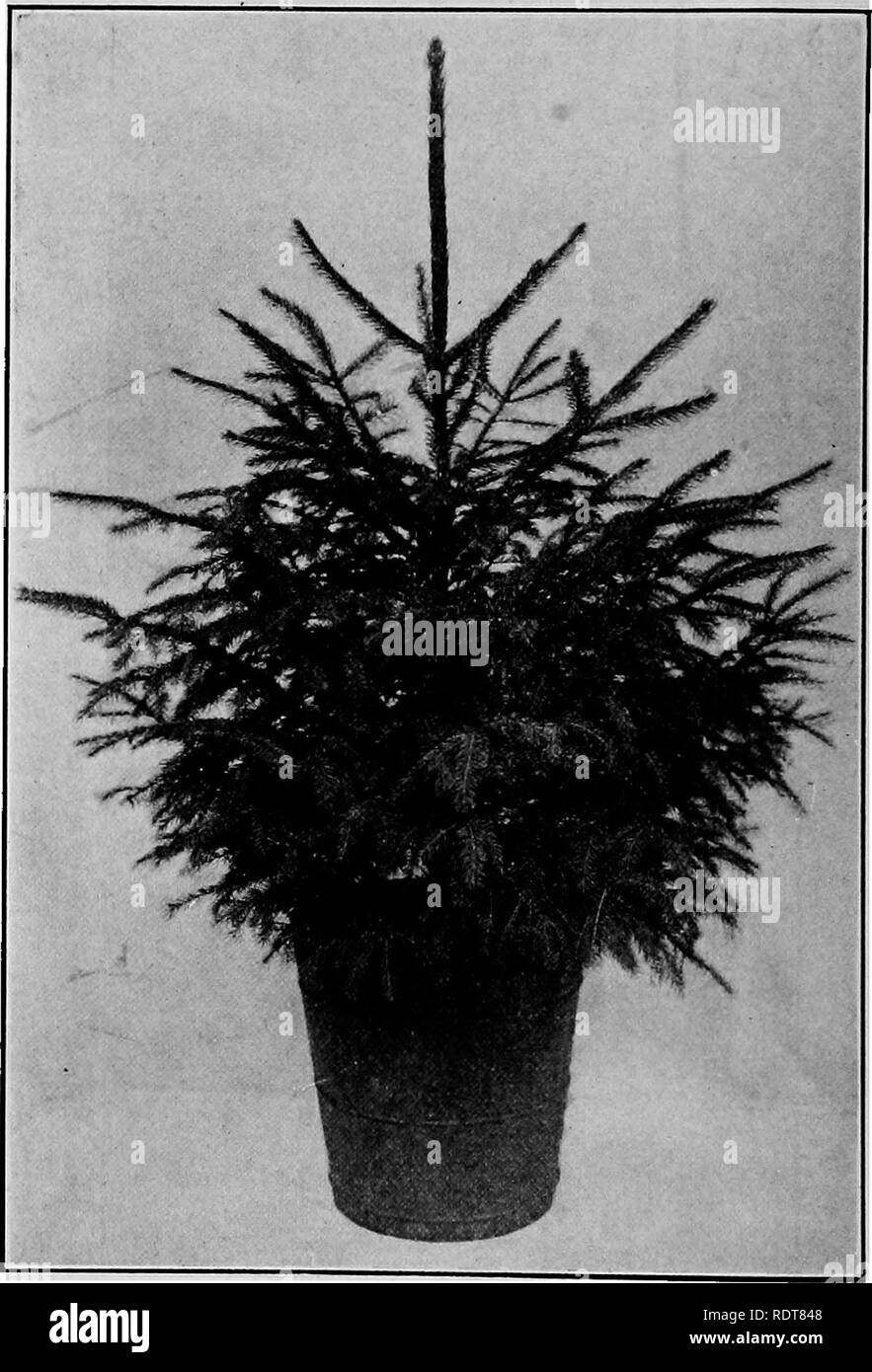 . Milady's house plants, the complete instructor and guide to success with flowers and plants in the home, including a remarkable chapter on the ideal sun parlor. House plants. 130 Milady's House Plants. This Norway Spruce has been growing in this tub one year, is well rooted, and in nice condition to withstand the Winter out of doors (see page 02). Please note that these images are extracted from scanned page images that may have been digitally enhanced for readability - coloration and appearance of these illustrations may not perfectly resemble the original work.. Palmer, Frederick E. New Yo - Stock Image