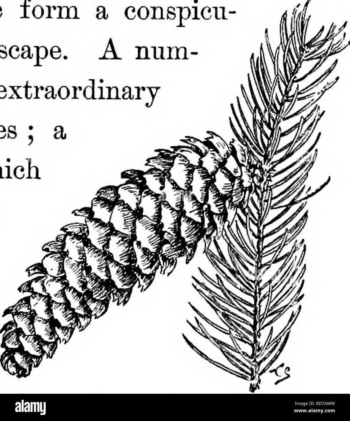 . Familiar trees and their leaves . Trees. THE SPRUCE, ETC. 291 Norway Spruce. The Norway spruce is another hand- Picm exceUa. ^ some species, which is generally con- fined to parks and private grounds. This tree grows from 50 to 120 feet high, according to circumstances; in the forests of Norway its long, drooping branches and tall figure form a conspicu- ous feature of the landscape. A num- ber of varieties assume extraordinary if not grotesque shapes ; a certain weeping form, which may be seen in the Ar- nold Arboretum, is a most peculiar, bare- branched, snaky-look- ing character, which ca - Stock Image
