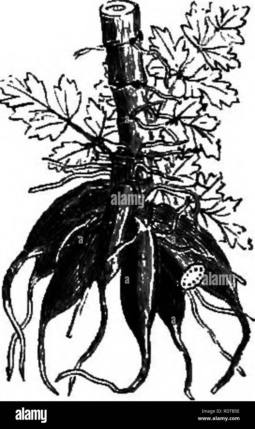 . My garden, its plan and culture together with a general description of its geology, botany, and natural history. Gardening. Fig. 774.—Water Ranunculus. Fig. 774 a—Sium angustifolium. Fig 774^.—Poisonous roots of Water Parsnip (OEnan- the crocata). its presence, but on the contrary rather approve of it. The grand Datura Stramonium (fig. 772) grows occasionally. By the side of our brooks the true Forget-me-not {Myosotis paiustris, %• 773). one of the most beautiful of all flowers, blossoms abundantly;. Please note that these images are extracted from scanned page images that may have been digi Stock Photo