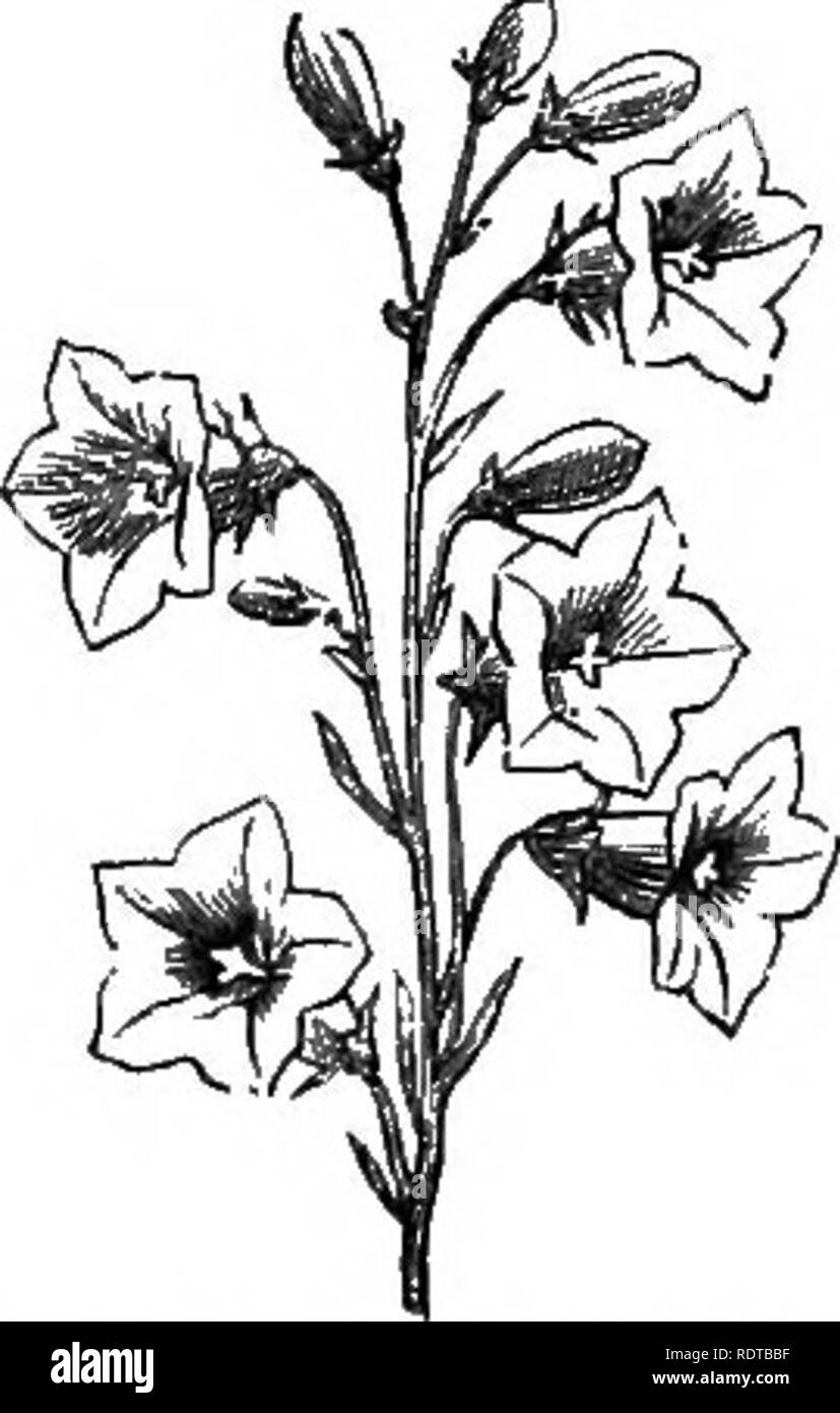 . My garden, its plan and culture together with a general description of its geology, botany, and natural history. Gardening. 326 MV GARDEN. difolia, which grows about a foot high and has a blue flower, is also a fine species. There is a white variety of it (fig. 726), which is a desirable plant. C. hirsuta (fig. 727) is a creeping plant with hairy leaves. C. garganica is a really valuable plant for the rockeries; and there are many other species which it is desirable to grow in the alpineries, but which I do not consider it requisite to describe. C. speculum is also called Venus's Looking-gla - Stock Image