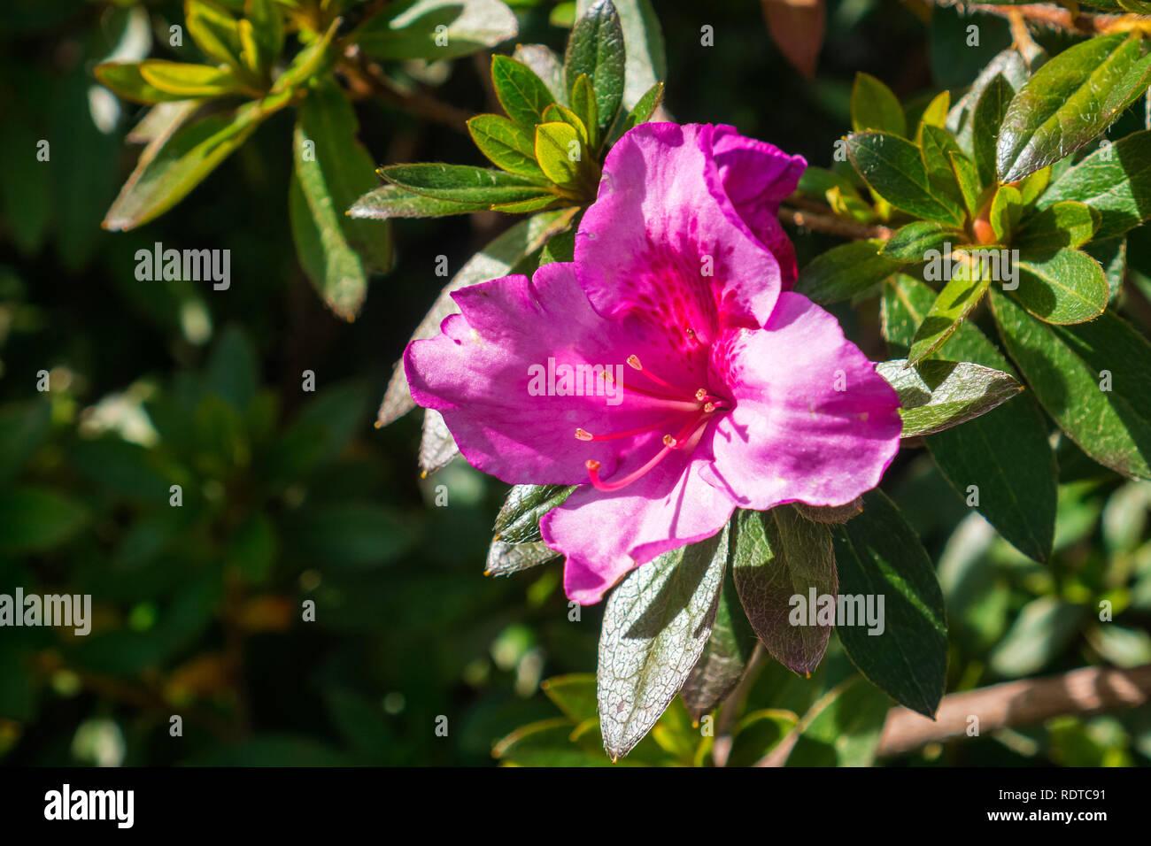 Blooming Pink Azalea flowers (Rhododendron Arboreum), California - Stock Image