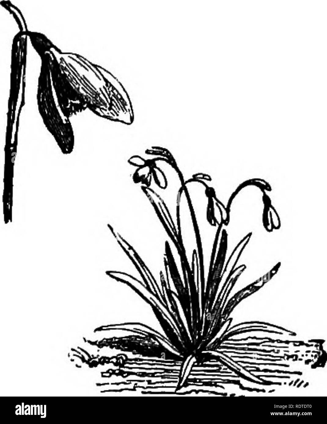 . Landscape gardening. Notes and suggestions on lawns and lawn planting--laying out and arrangement of country places, large and small parks, cemetery plots, and railway-station lawns--deciduous and evergreen trees and shrubs--the hardy border-bedding plants--rockwork, etc. Landscape gardening. GARDEN FLOWERS. 169. THE SNOWDROP. (galanthus nivalis.) The glory of the snow, OMonodoxa ImcilioB, is a bulb from the mountains of Asia Minor. It grows from four to eight inches high, and in early spring is covered with spikes of the most beautiful sky-blue, white-centred flo^'^'- ers. Winter aconite (E - Stock Image