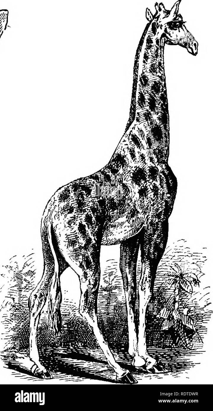 . Fourteen weeks in zoology. Zoology. Tongue of a Girafe. CamelopardaUs giraffa, Giraflfe. ^. a lion. The long tongue is prehensile, and so flexible as to be flattened and rounded like a plate, or contracted to enter a quill. In mimicry it resembles the branchless trunks among which it stalks and upon whose umbrella tops it feeds. * Bovidse.—The Ox family comprises ruminants having horns and cloven feet. It may be tabulated according to the structure of the horns. * *'Intliecaee of the Giraffe, which ie invariably met amon^ venerable forests, where innumerable blasted and weatber-beateii trunk - Stock Image