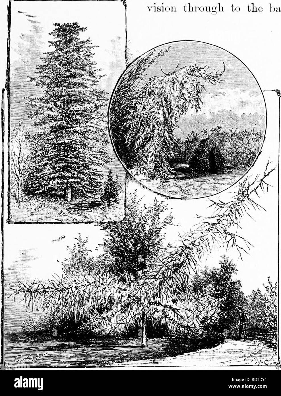 . Landscape gardening. Notes and suggestions on lawns and lawn planting--laying out and arrangement of country places, large and small parks, cemetery plots, and railway-station lawns--deciduous and evergreen trees and shrubs--the hardy border-bedding plants--rockwork, etc. Landscape gardening. LAWN-PLANTING FOR WINTER EFFECT. 15;] We must be careful always to keep open cousiderable stretches of turf', endeax'driiig rather to flauk than to cross with plants the direct Hue of vision throU!j;h to the back-. PARSONS' SILVER FIR, WEEPING NORWAY SPRUCE, AND WEEPING LARCH. ground. It should be our o - Stock Image