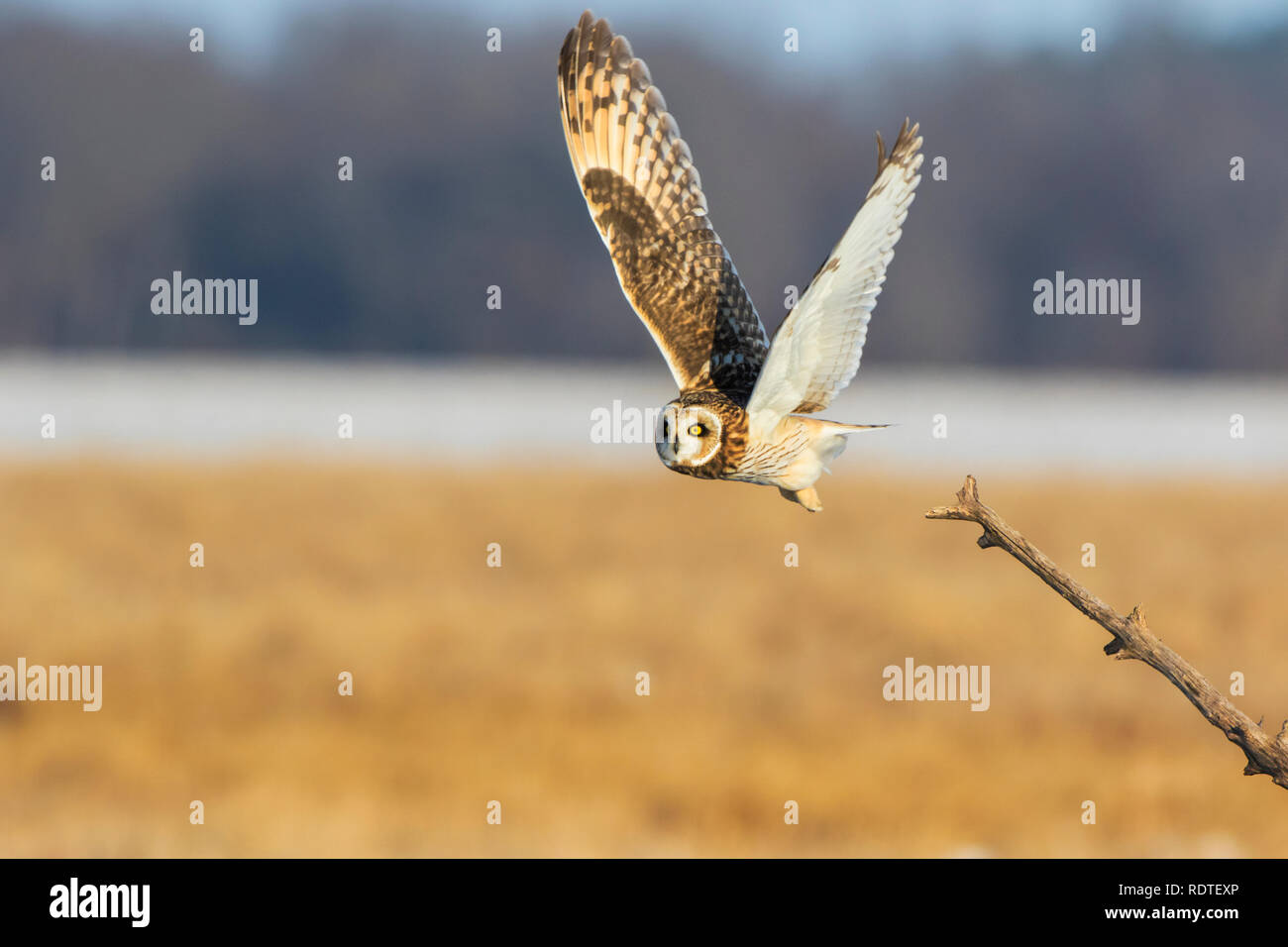 01113-02013 Short-eared Owl (Asio flammeus) lifting off from perch Prairie Ridge State Natural Area Marion Co. IL Stock Photo