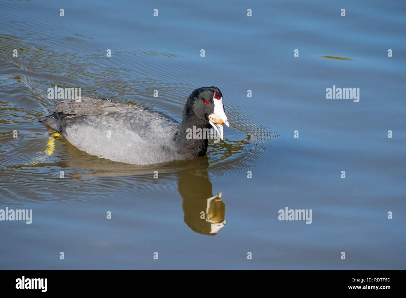 American coot (Fulica americana) fishing and eating mussels, Shoreline Lake and Park, Mountain View, San Francisco bay area, California Stock Photo