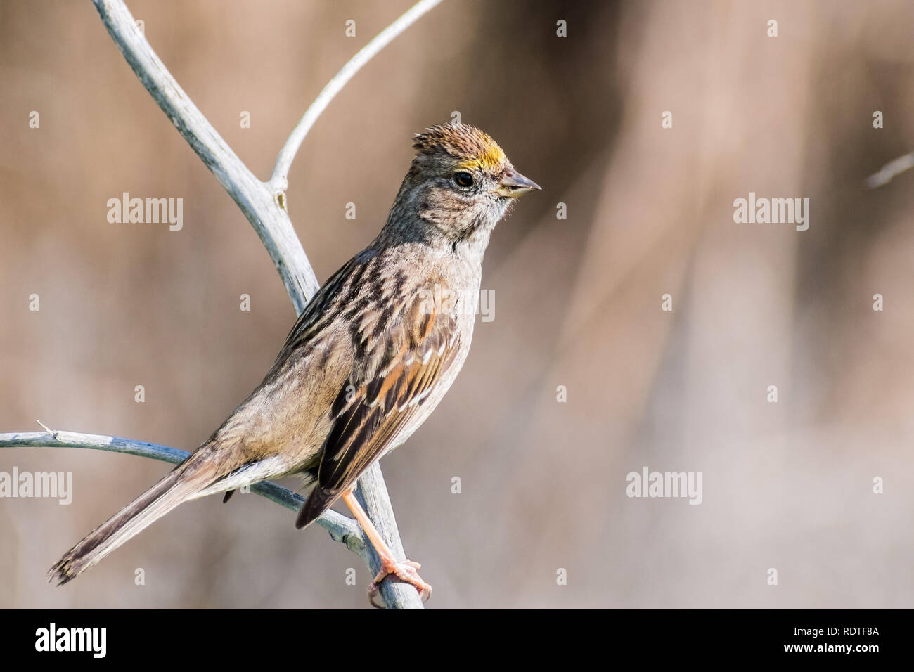 Close up of young Golden-crowned sparrow (Zonotrichia atricapilla), California; they are migrating all throughout the west coast during winter and van Stock Photo