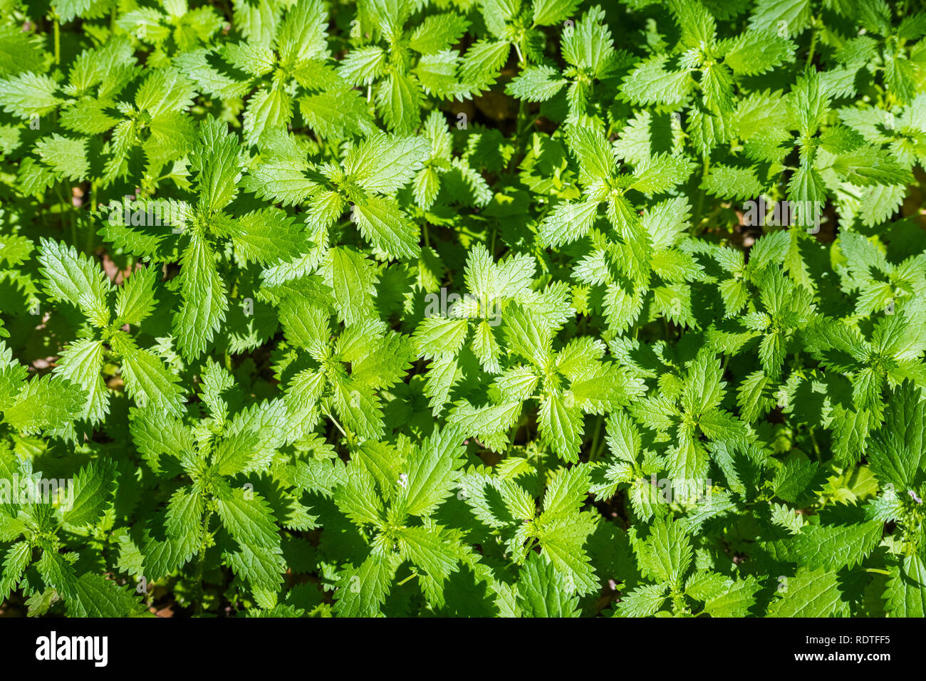 View from above of a patch of Stinging Nettle (Urtica dioica) growing on a meadow, California Stock Photo