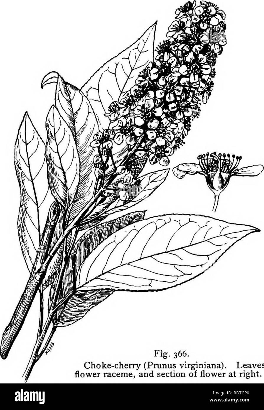 . Elementary botany. Botany. PLANT FAMILIES: POMACEM. 277 are at first perigynous, but become epigynous (upon the gynce- cium) by the fusion of the receptacle with the carpels. The floral. Fig. 366. Choke-cherry (Primus virginiana). Leaves, flower raceme, and section of flower at right. formula is thus Ca5,Co5, Aio-5-5 or 10-10-5,G1-5. The carpels. Please note that these images are extracted from scanned page images that may have been digitally enhanced for readability - coloration and appearance of these illustrations may not perfectly resemble the original work.. Atkinson, George Francis, 18 - Stock Image