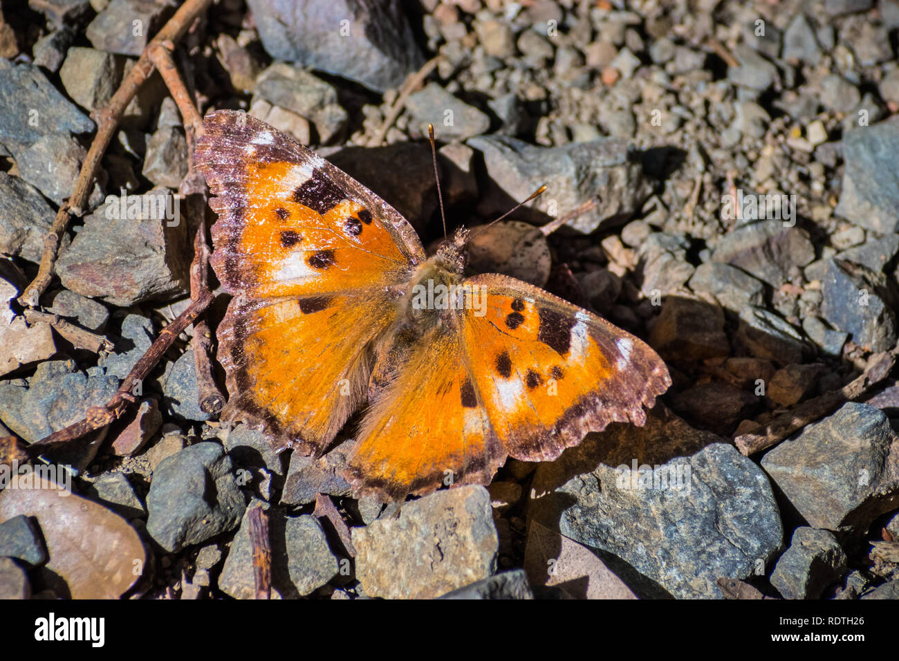 Close up of Satyr Comma butterfly (Polygonia satyrus), San Francisco bay area, California Stock Photo