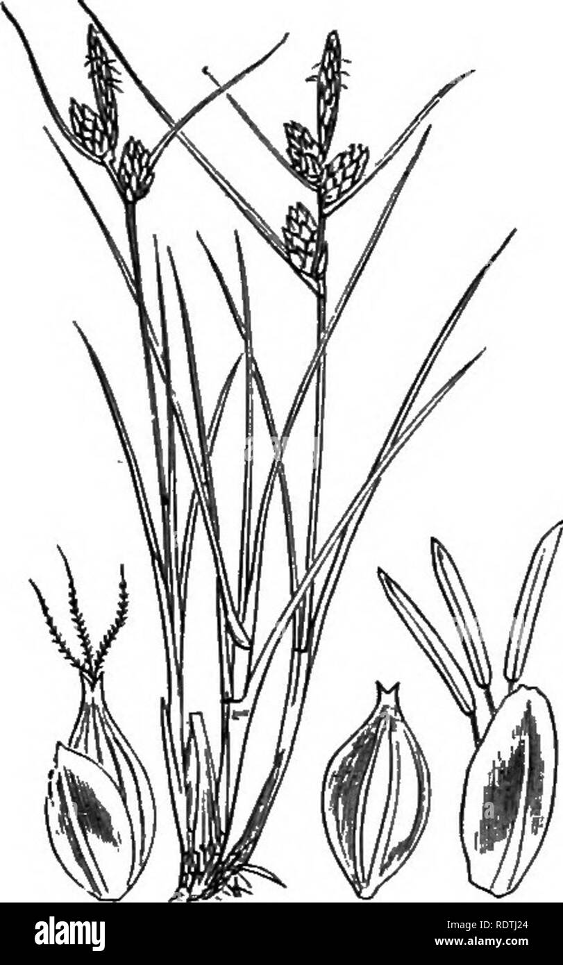 . Illustrations of the British flora: a series of wood engravings, with dissections, of British plants. Botany; Botany. 1141. Canx hiria, L. Hairy C.. 1142. Carex pallescens, L. Pale C. 1143. Carex extensa, Good. Long-lireKied C.. Please note that these images are extracted from scanned page images that may have been digitally enhanced for readability - coloration and appearance of these illustrations may not perfectly resemble the original work.. Fitch, W. H. (Walter Hood), 1817-1892; Smith, George Worthington, 1835-1917; Bentham, George, 1800-1884. Handbook of the British flora. London, L. R - Stock Image