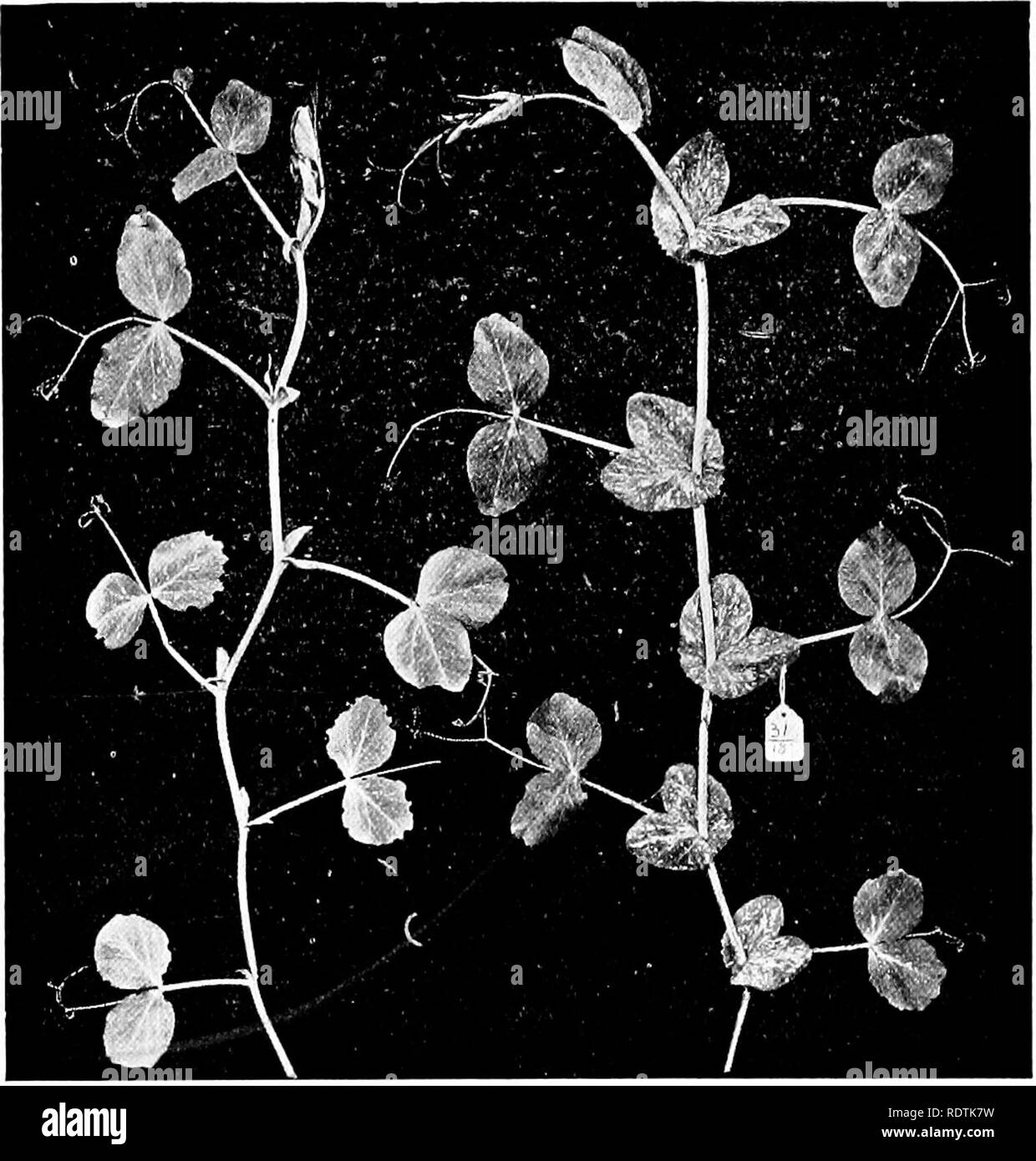 . An introduction to the structure and reproduction of plants. Plant anatomy; Plants. MUTATION 381 Common Yew, from whence it arose, in its darker foliage and cypress-like habit. Detailed studies of mutations were first made by De Vries on a species of Evening Primrose {CEnoihera lamarckiana), which occurred as an escape in a field near Amster- dam, where it was found producing a considerable number of. Fig. 222.—A new form or mutant which arose from a pure strain of Duke of Albany Pea and which differs in the narrow lanceolate sti- pules. The type on the right, the mutant on the left. [By per - Stock Image