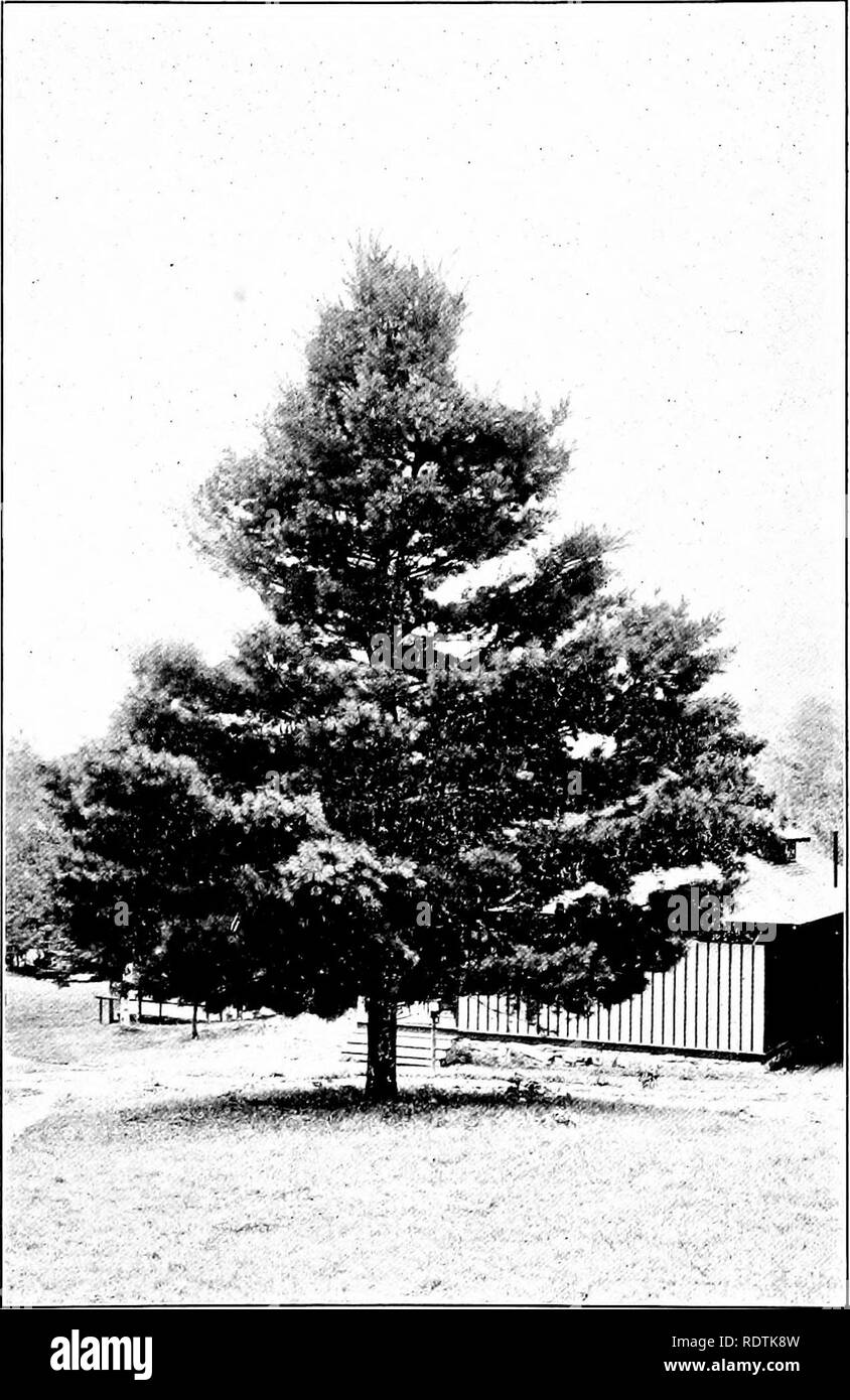 . The tree book. Trees. AJIONG THE PINES THE WHITE PINE IS THE TALLEST, STATELIEST AND BEST-KNOWN. Please note that these images are extracted from scanned page images that may have been digitally enhanced for readability - coloration and appearance of these illustrations may not perfectly resemble the original work.. McFee, Inez N. (Inez Nellie Canfield), b. 1879. New York, Frederick A. Stokes Co. - Stock Image