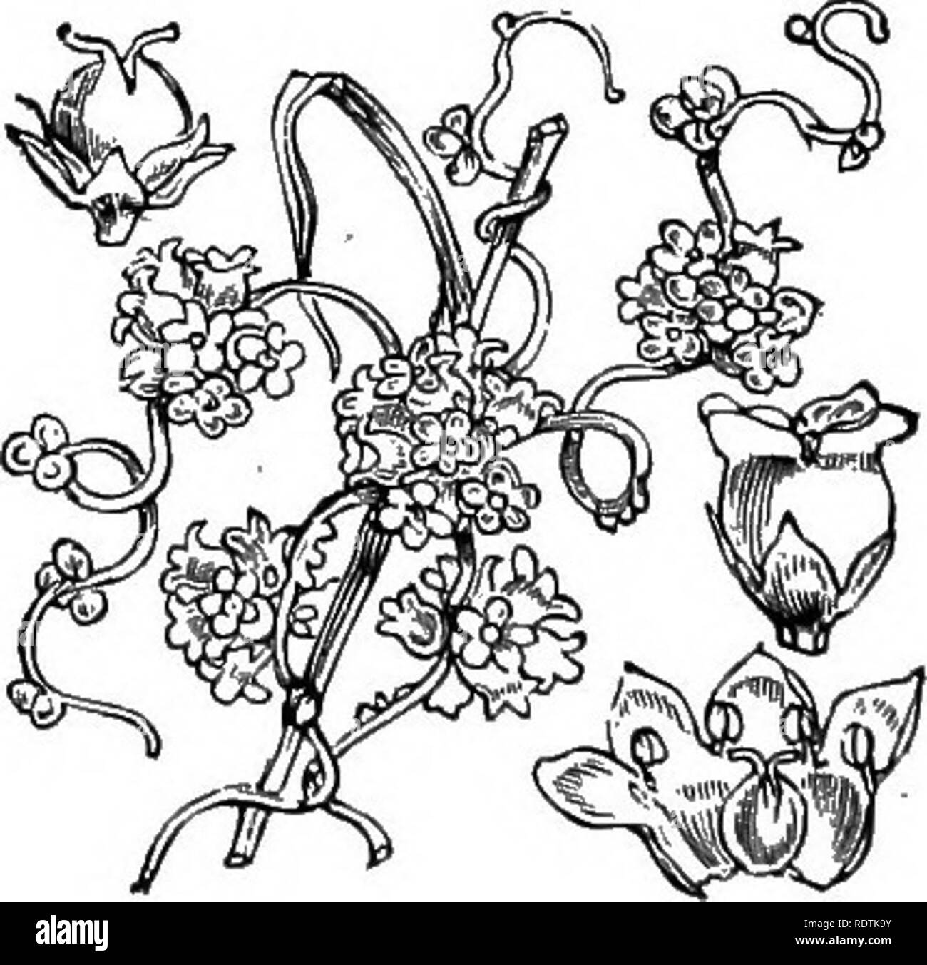 . Illustrations of the British flora: a series of wood engravings, with dissections, of British plants. Botany; Botany. 688. Convolvulus Soldanella, L. Calystegia So., Br,; Volvulus So., Jung. Sea Bindweed] Pk.. 9. Cuscuta europoea, L. Greater Dodder,. Please note that these images are extracted from scanned page images that may have been digitally enhanced for readability - coloration and appearance of these illustrations may not perfectly resemble the original work.. Fitch, W. H. (Walter Hood), 1817-1892; Smith, George Worthington, 1835-1917; Bentham, George, 1800-1884. Handbook of the Briti - Stock Image