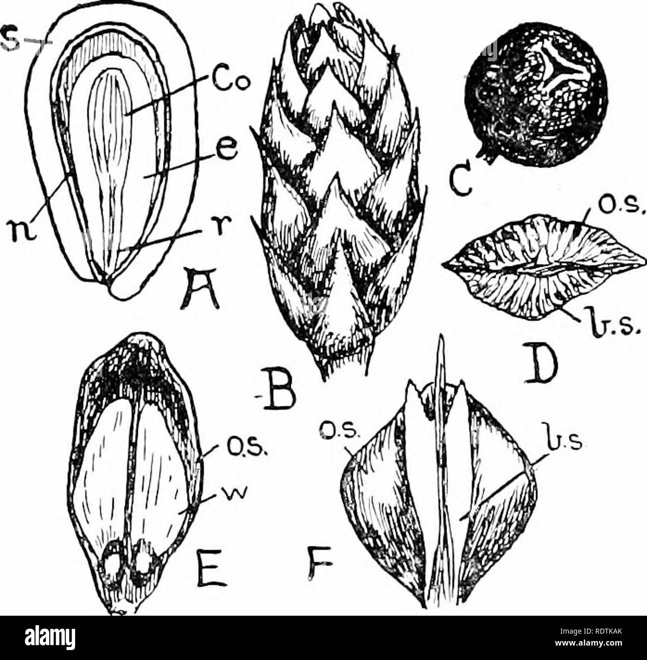 . An introduction to the structure and reproduction of plants. Plant anatomy; Plants. 352 SEEDS is present in sufficient quantity to render the kernels of some species of Pines of nutritive value. The method of germination of the seeds is practically the same as that of a Castor Oil, the seedlings (Fig. 195) possessing long hypocotjds (/;.) with epigeal cotyledons {coi.). During the development of the embrj'o the entire ovule enlarges considerably, and at the same time the integument hardens to form the seed-coat, or testa (s.). The greater part of the. Fig. 205.—Seeds and cones of various Con - Stock Image