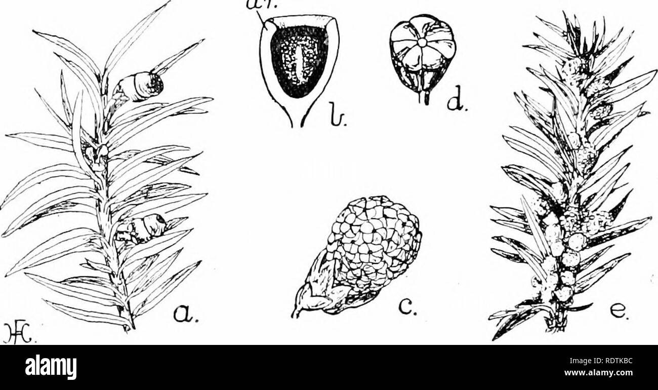 . An introduction to the structure and reproduction of plants. Plant anatomy; Plants. 346 FEMALE CONES largements, between the cuticle and tlie inner laj'cr of tlie membrane ; these contain water, which subsequently evaporates, thus leaving two bladders which act as wings (Fig. 204, A, w.). The ovules (megasporangia) of the Yew (Taxus) usually occur singly within small buds, which arise in the axils of the leaves and are generally spoken of as female cones ; they closely re- semble the ordinary vegetati'e buds. Each such cone bears several minute scales, the single ovule occupving a terminal  - Stock Image
