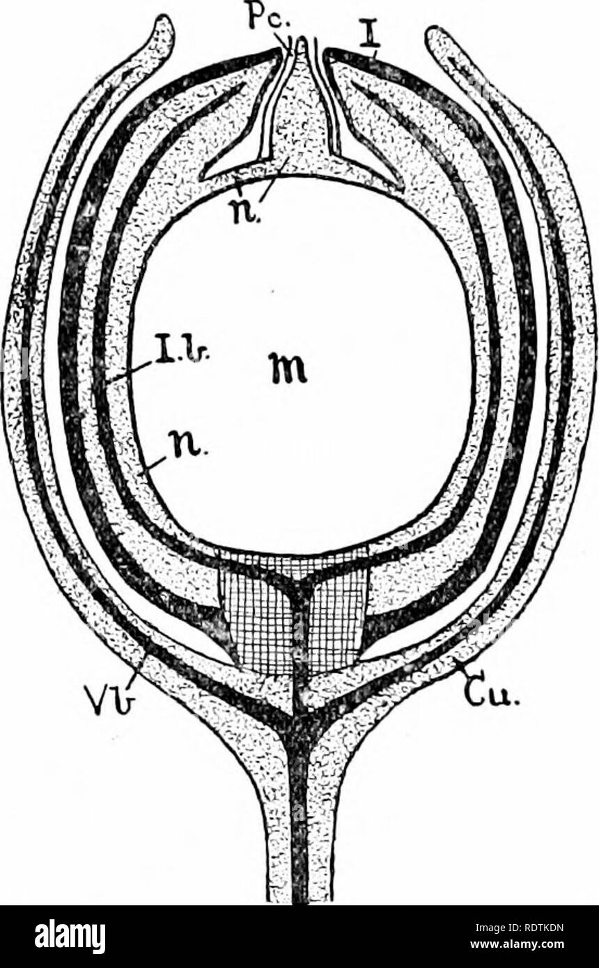. An introduction to the structure and reproduction of plants. Plant anatomy; Plants. THE SEED-IIABIT 333 plants. As a general rule {e.g. most Conifers and Flowering Plants), however, the vascular system of the ovule stops short at its base. The elaborate vascular supply of the early seed- types, as contrasted with the more modern ones, may perhaps be related to the possession of motile spermatozoids, and to the relative degree of exposure and size of the ovules. One important aspect of the permanent retention of the. Fig. igiB.—Reconstrviction of a longitudinal section through the seed of Lyg - Stock Image